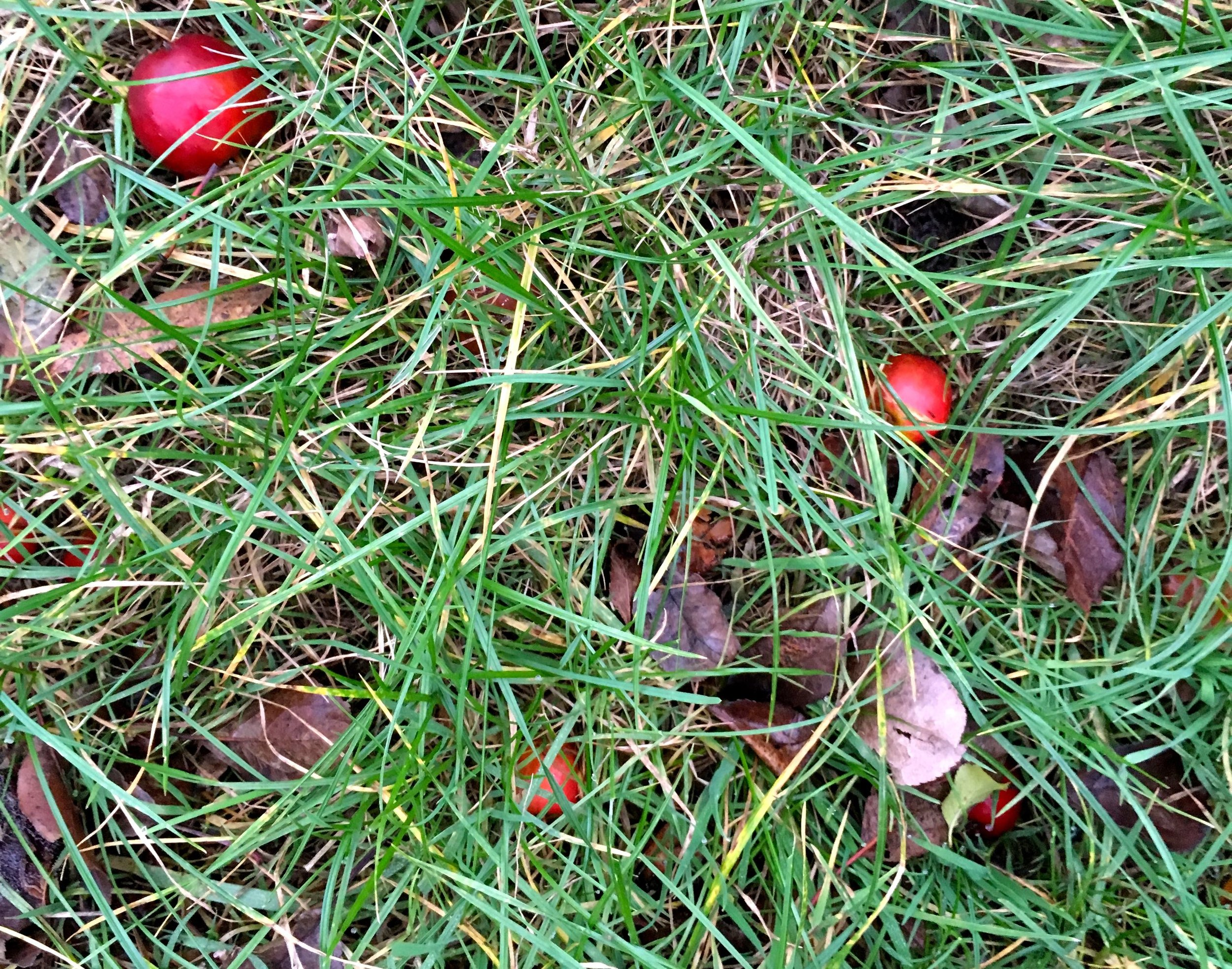 crab apples down! Under the tree the ground is littered with fallen crab apples