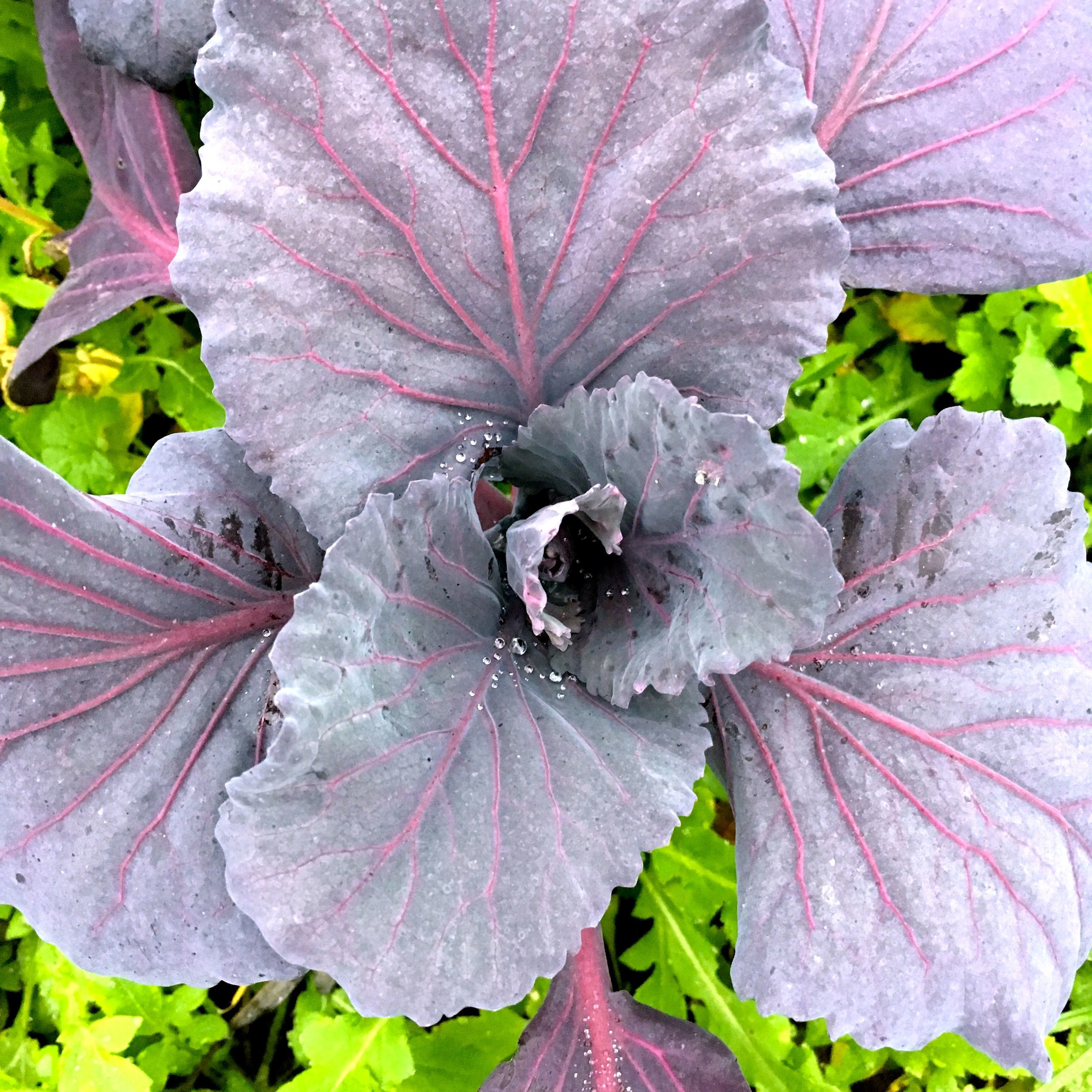 dramatic red cabbages are coming along well, just ignore the weeds in the background!