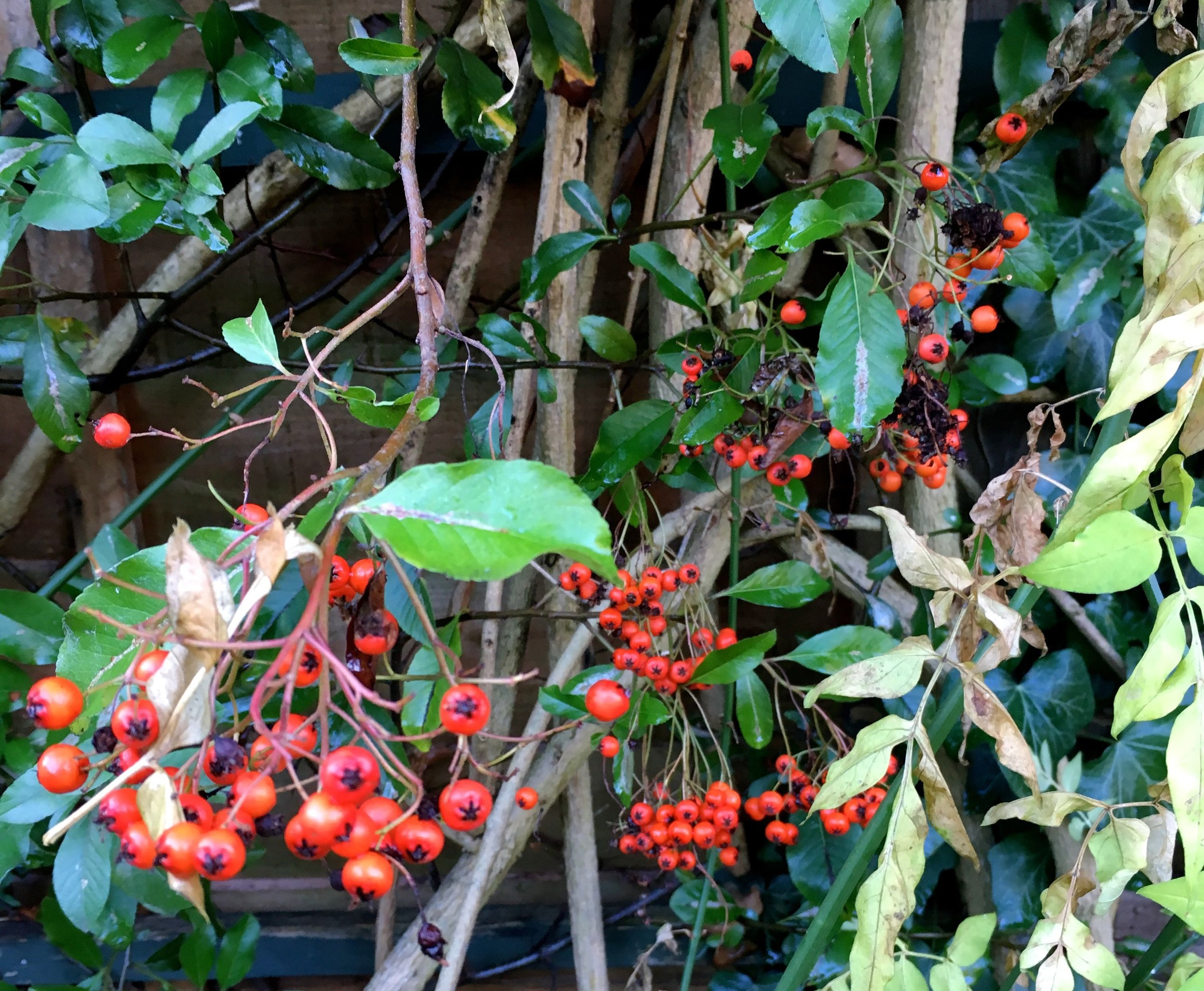pyracantha berries growing in a sheltered spot by the fence