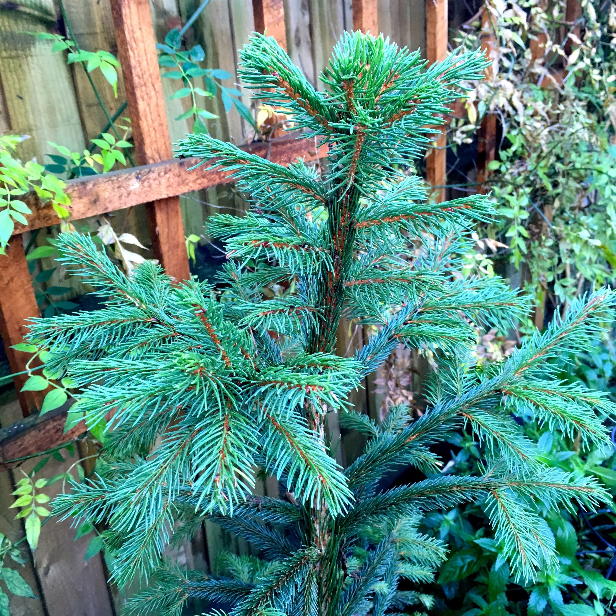 The little Christmas tree from last year is still doing well, but will I cut it for my wreath this year?