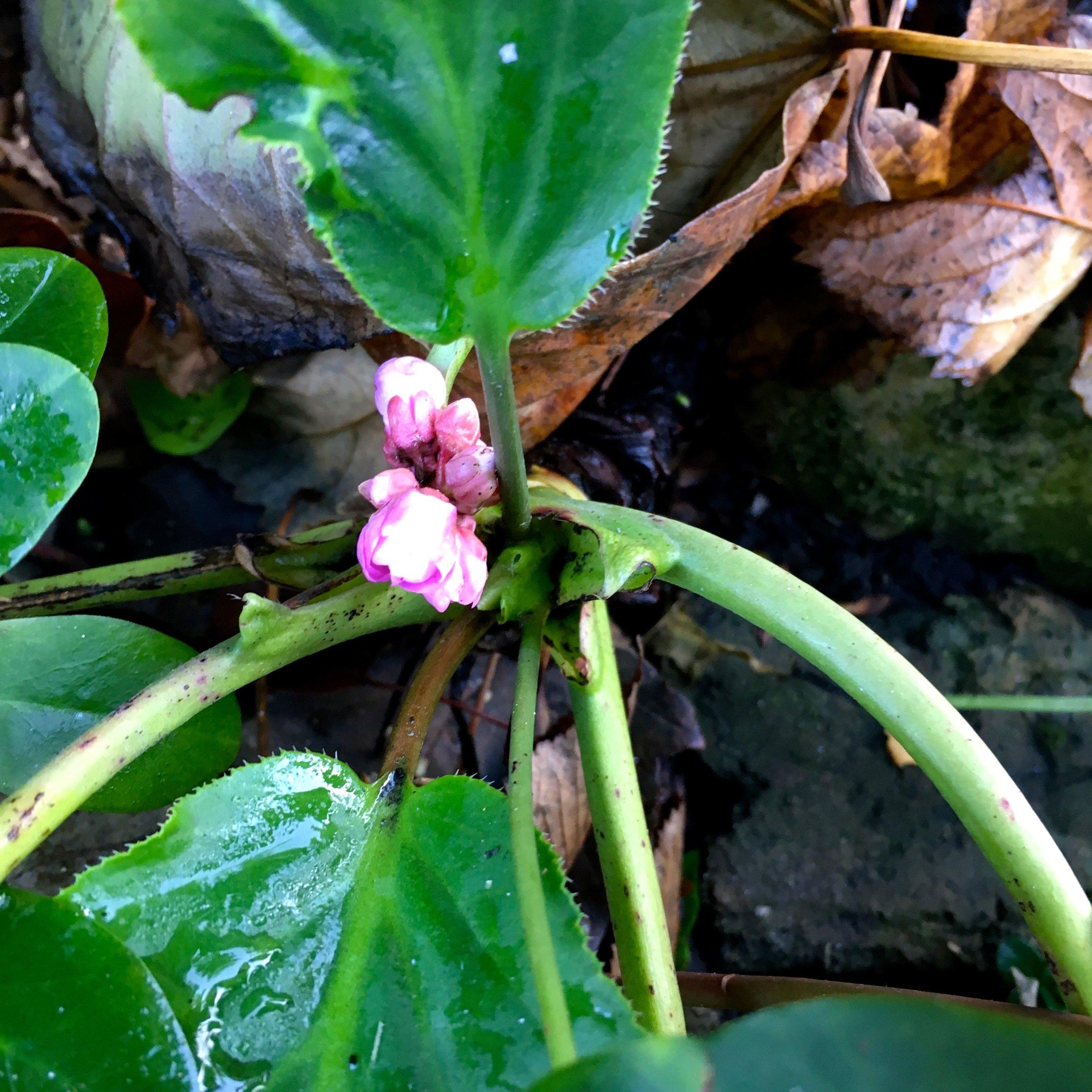the start of a flower on my hostas