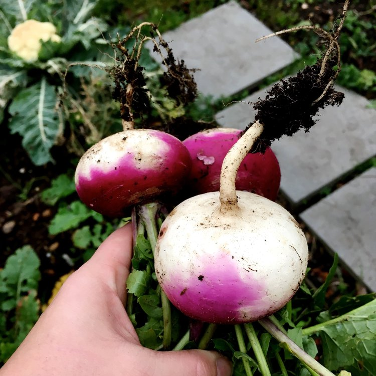December: Turnips on the allotment