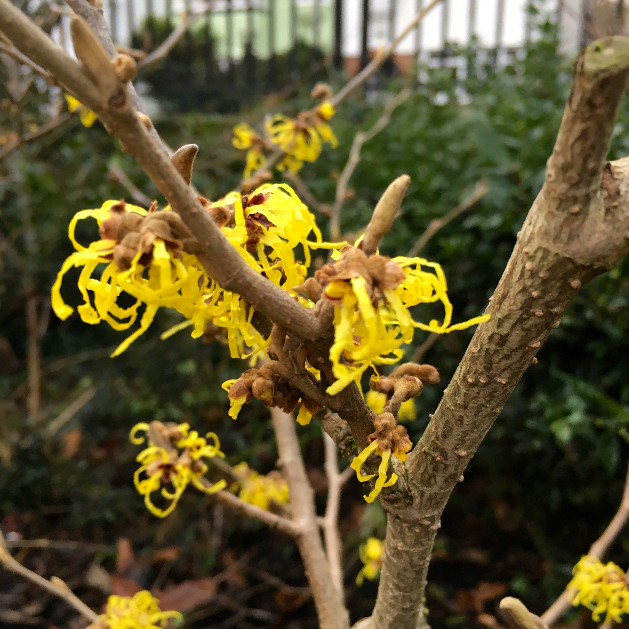 Another new discovery, witch hazel in flower in Greenwich Park, bringing a welcome blast of yellow