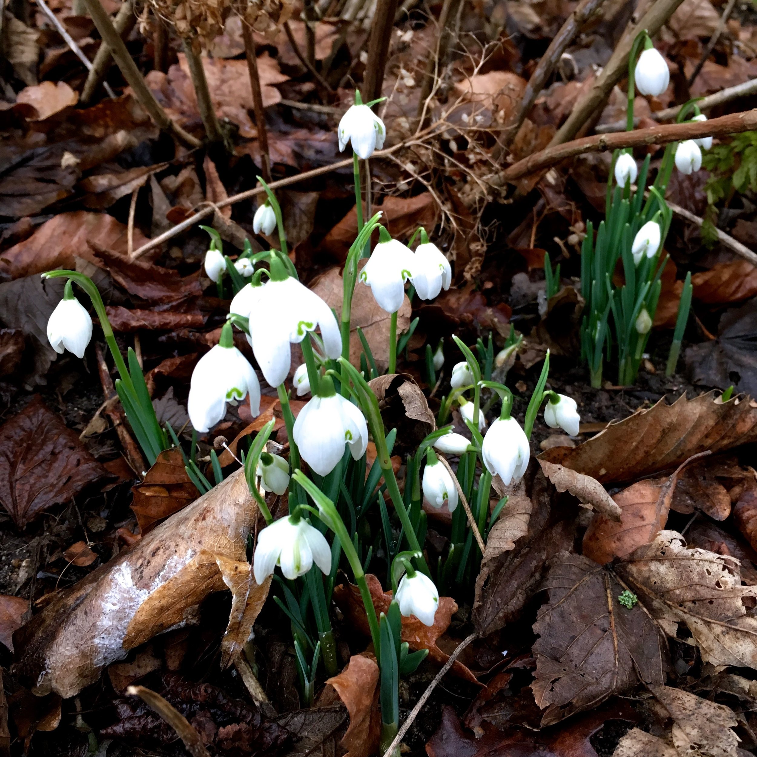 delicate snowdrops in the leaves at Blickling