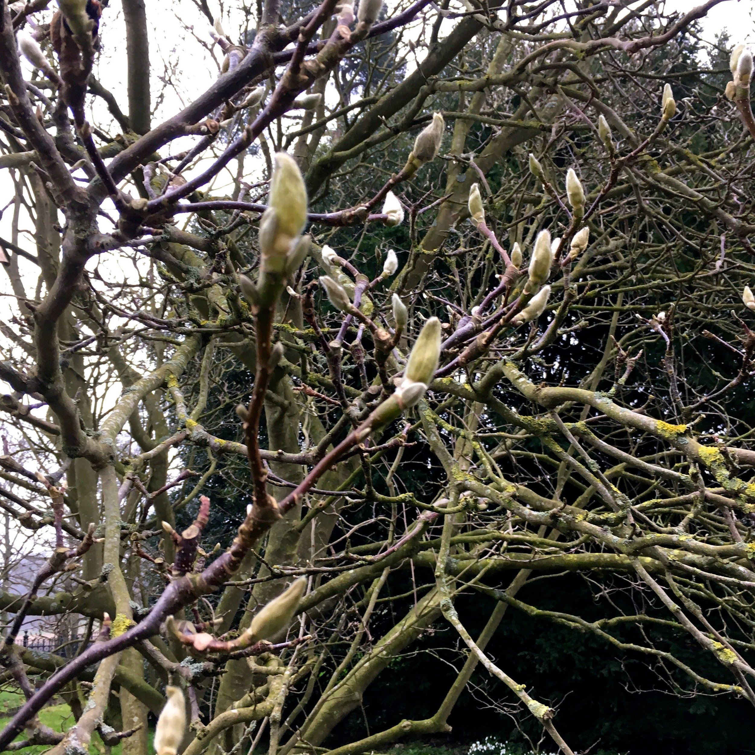 The magnolia tree is in bud at Blickling in Norfolk