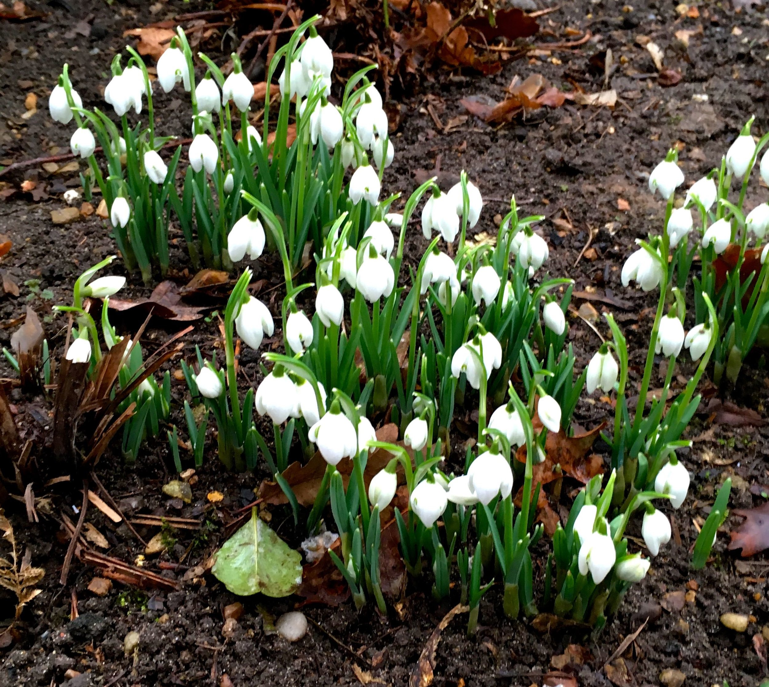 More snowdrops near the Temple at Blickling in Norfolk