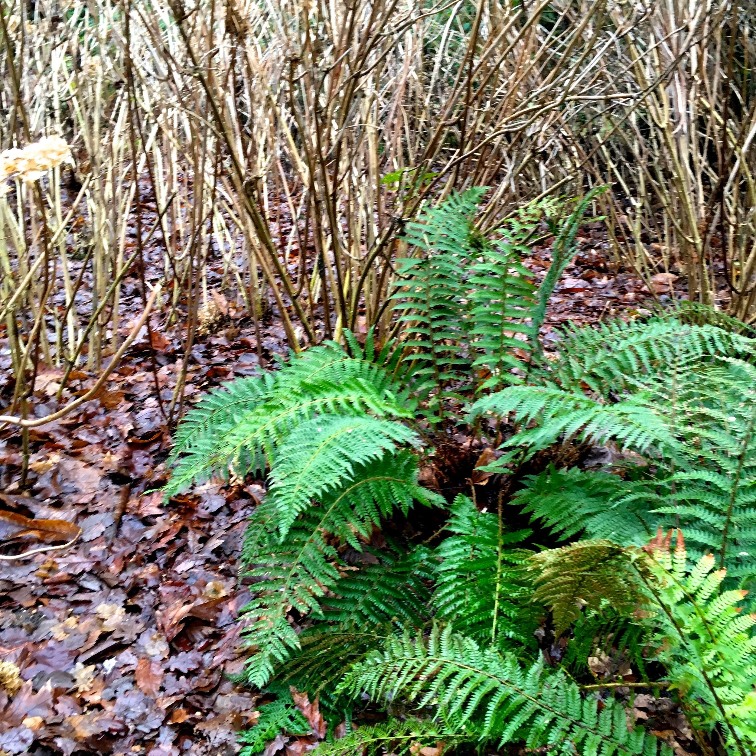 I couldn't resist a picture of the lush green ferns at Blickling
