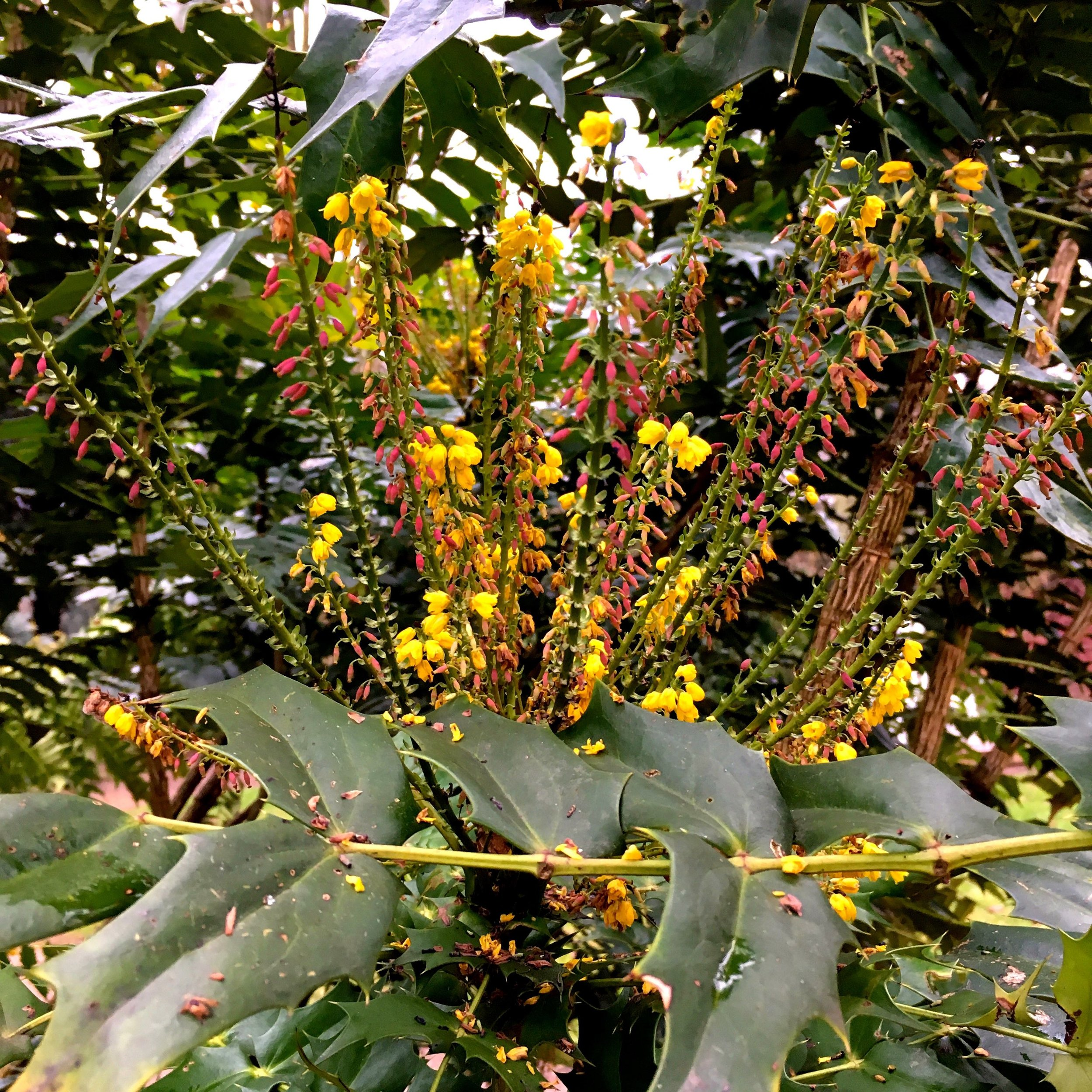 Sneaking up on a  colourful mahonia