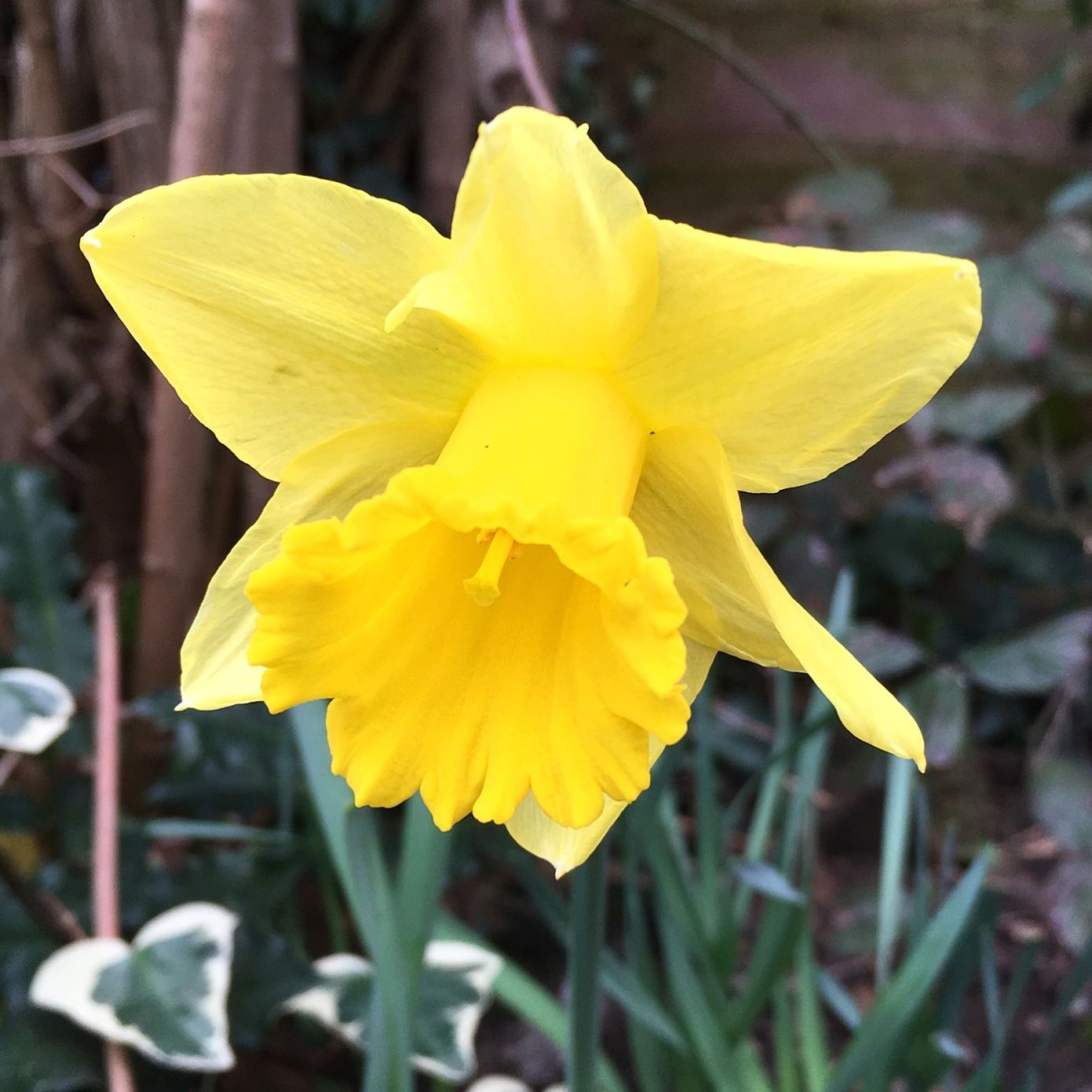 I have one daffodil in my garden so far, just one