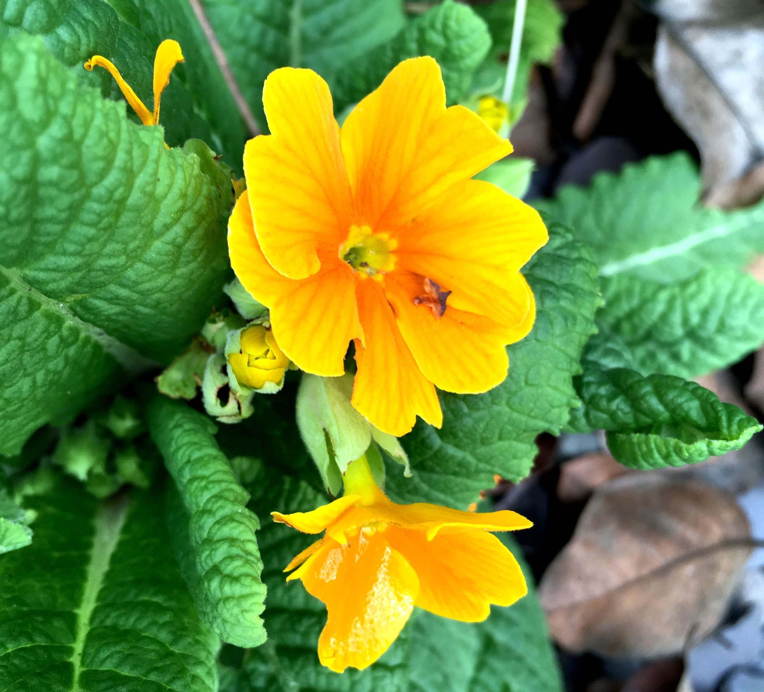 The perpetual primulas are doing what they do best - still flowering!