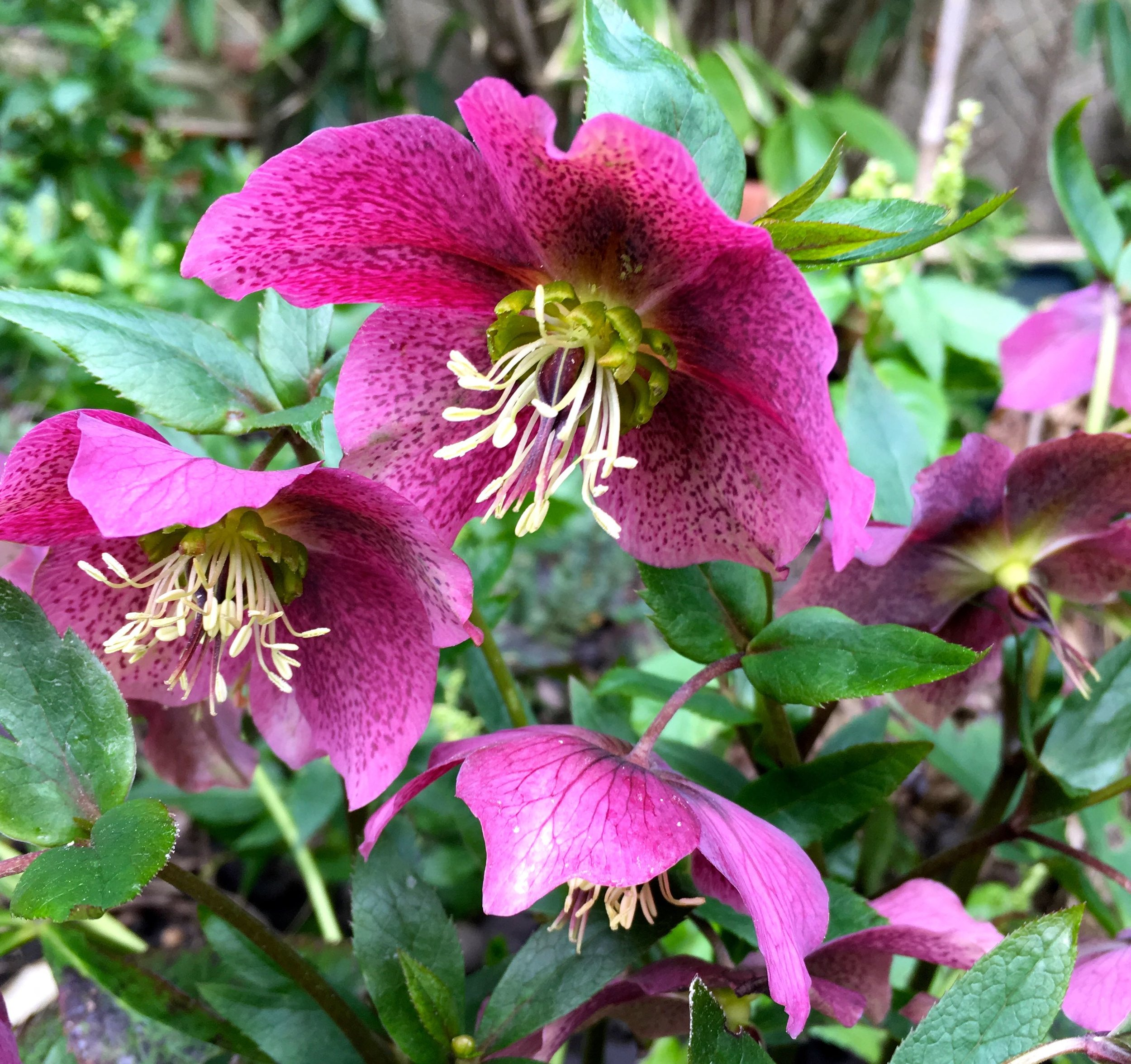 The star of the show in my garden right now is hellebores