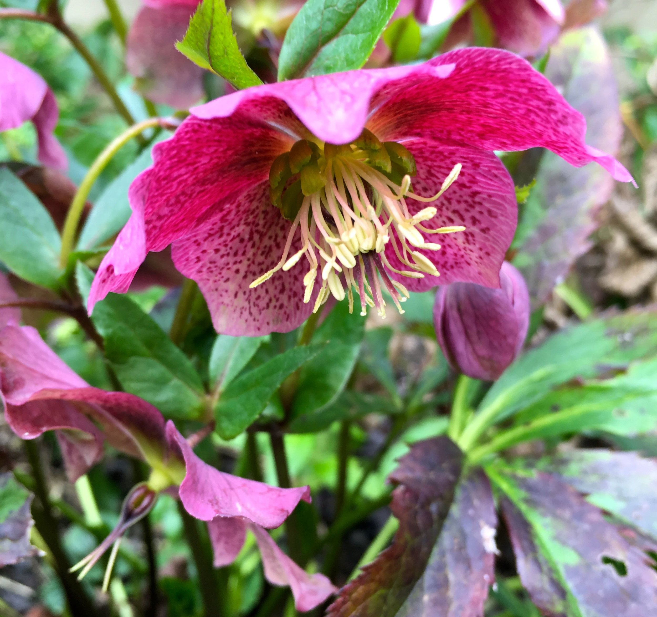 The hellebores have self seeded and this is the first year I'm getting the benefit of them