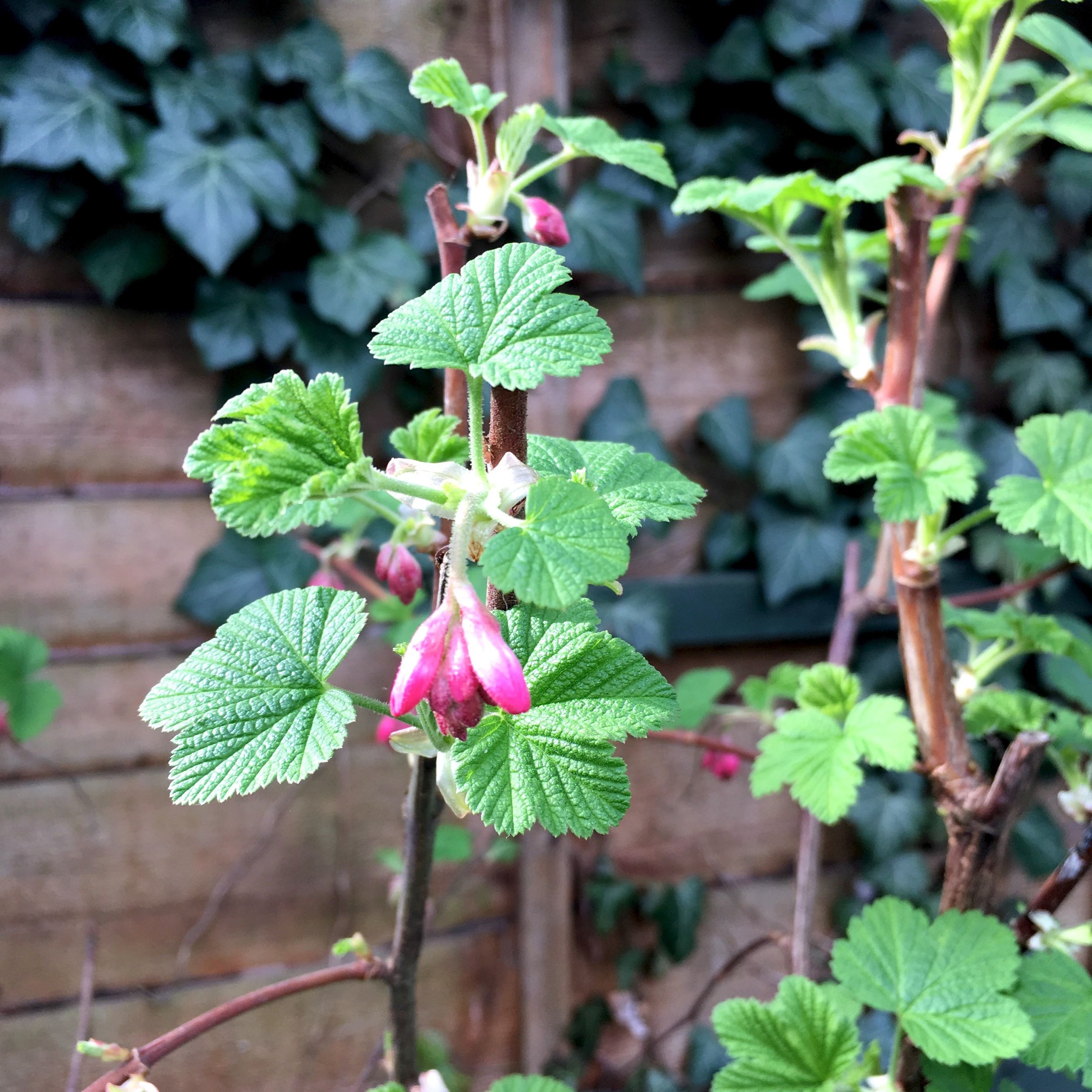 Another blast of pink - the currant berry - waiting to open its buds