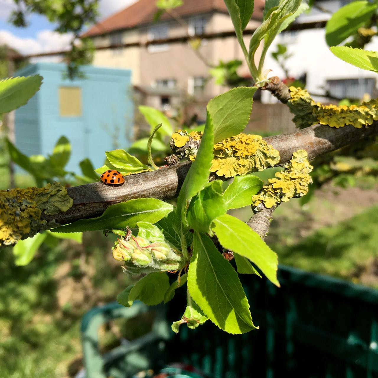 do you liken my lichen, the ladybird seems pretty keen on the crab apple tree