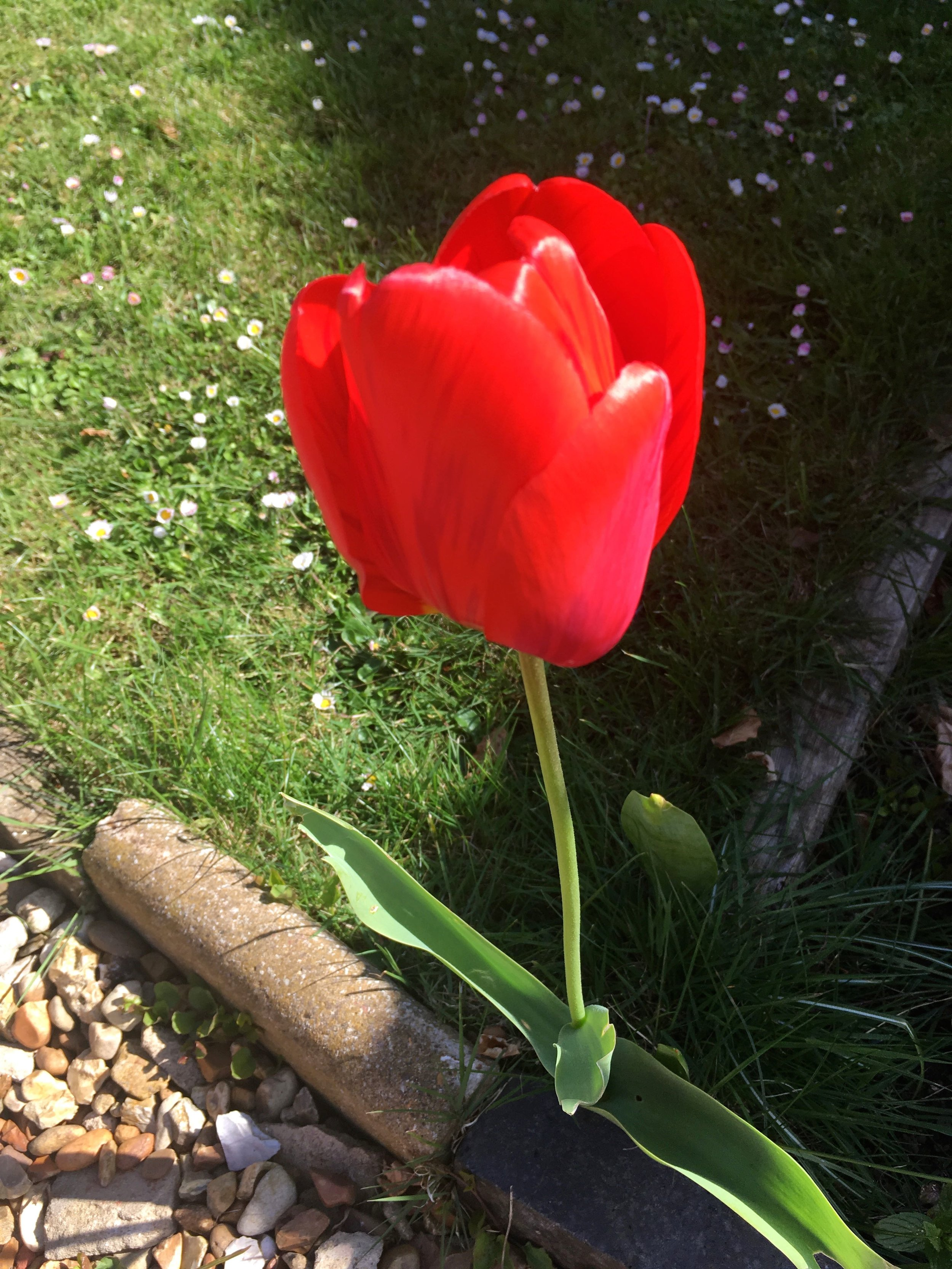 Shade or sun, this tulip can't quite decide