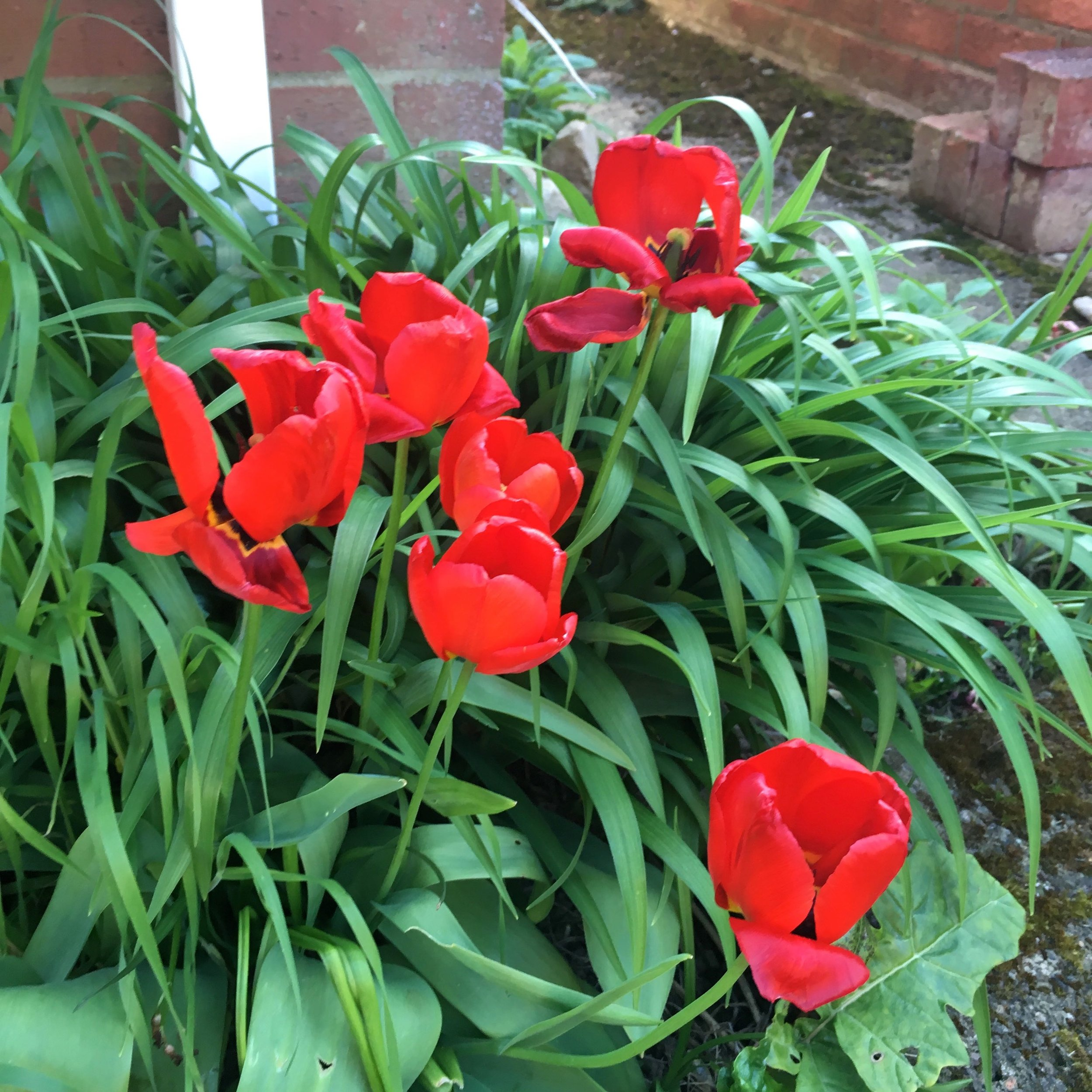 borrowing the foliage from other spring bulbs