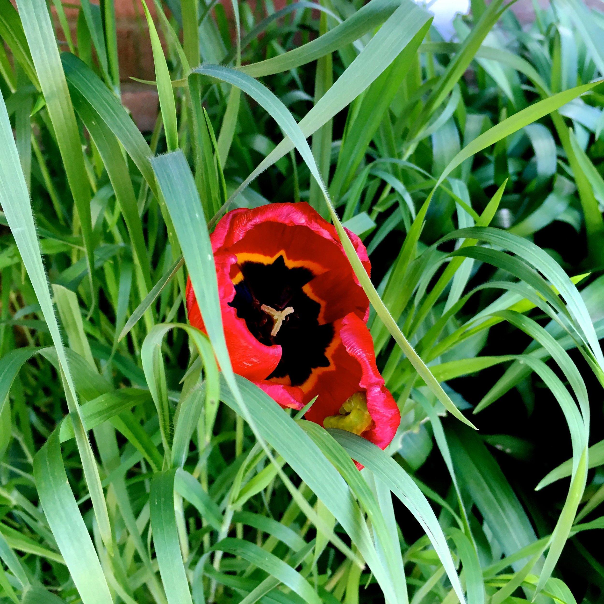 Peering into the dark centre of the tulip