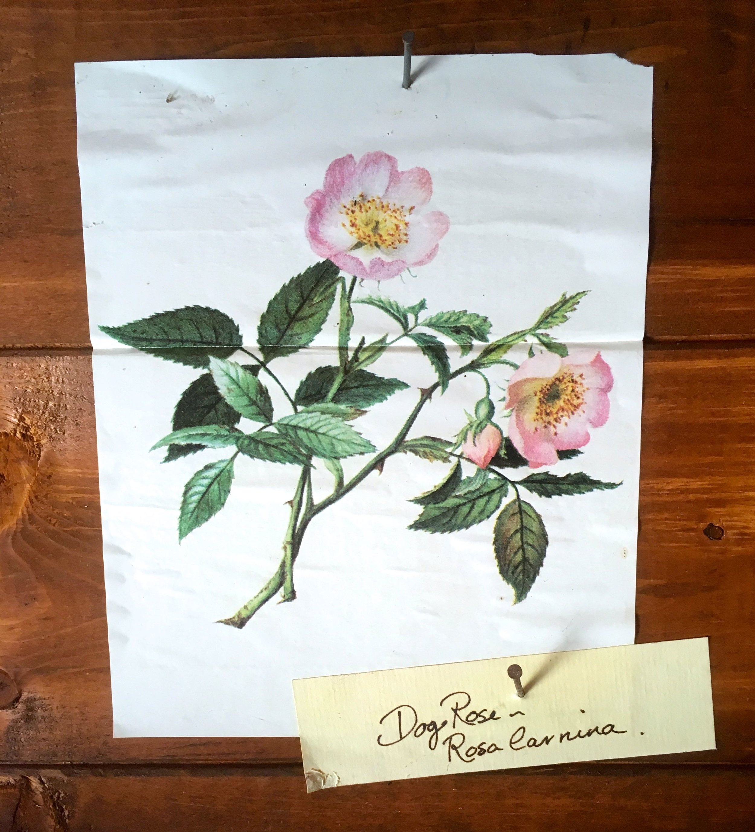 A dog rose painting in the potting shed at Mottisfont