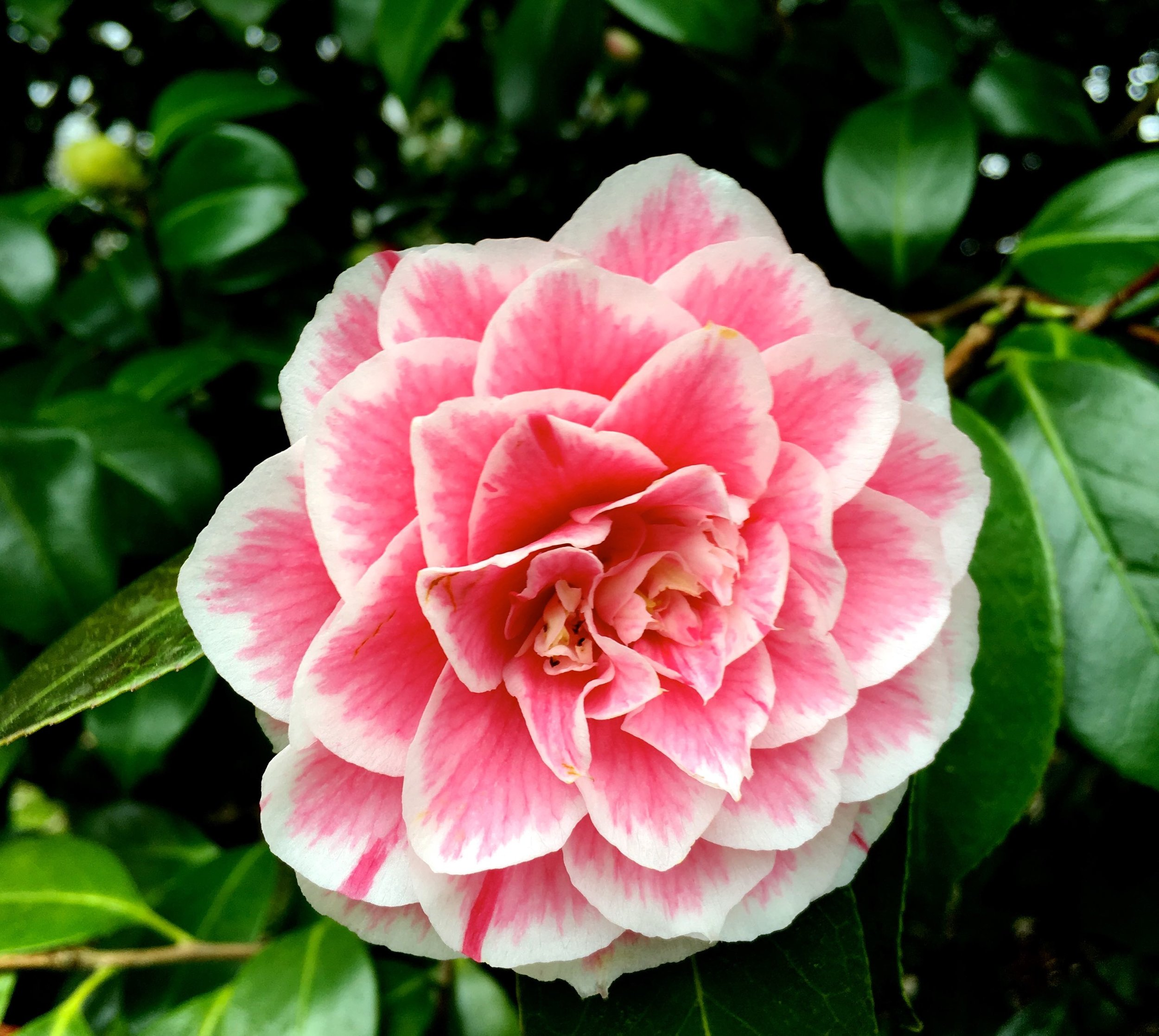 A dappled pink camellia at Kingtson Lacy in Dorset