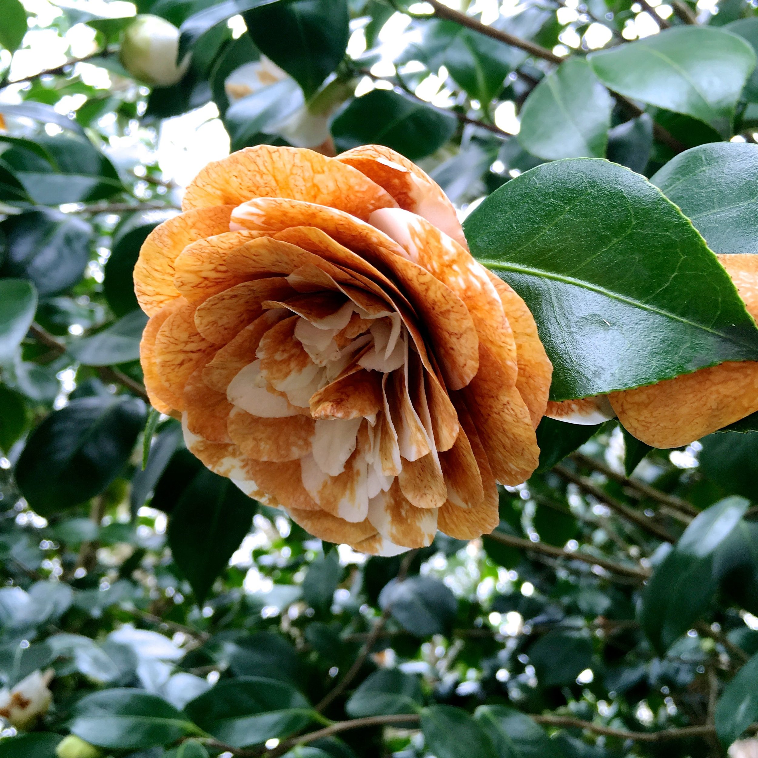 fading beauty of the camellias at Kingtson Lacy in Dorset