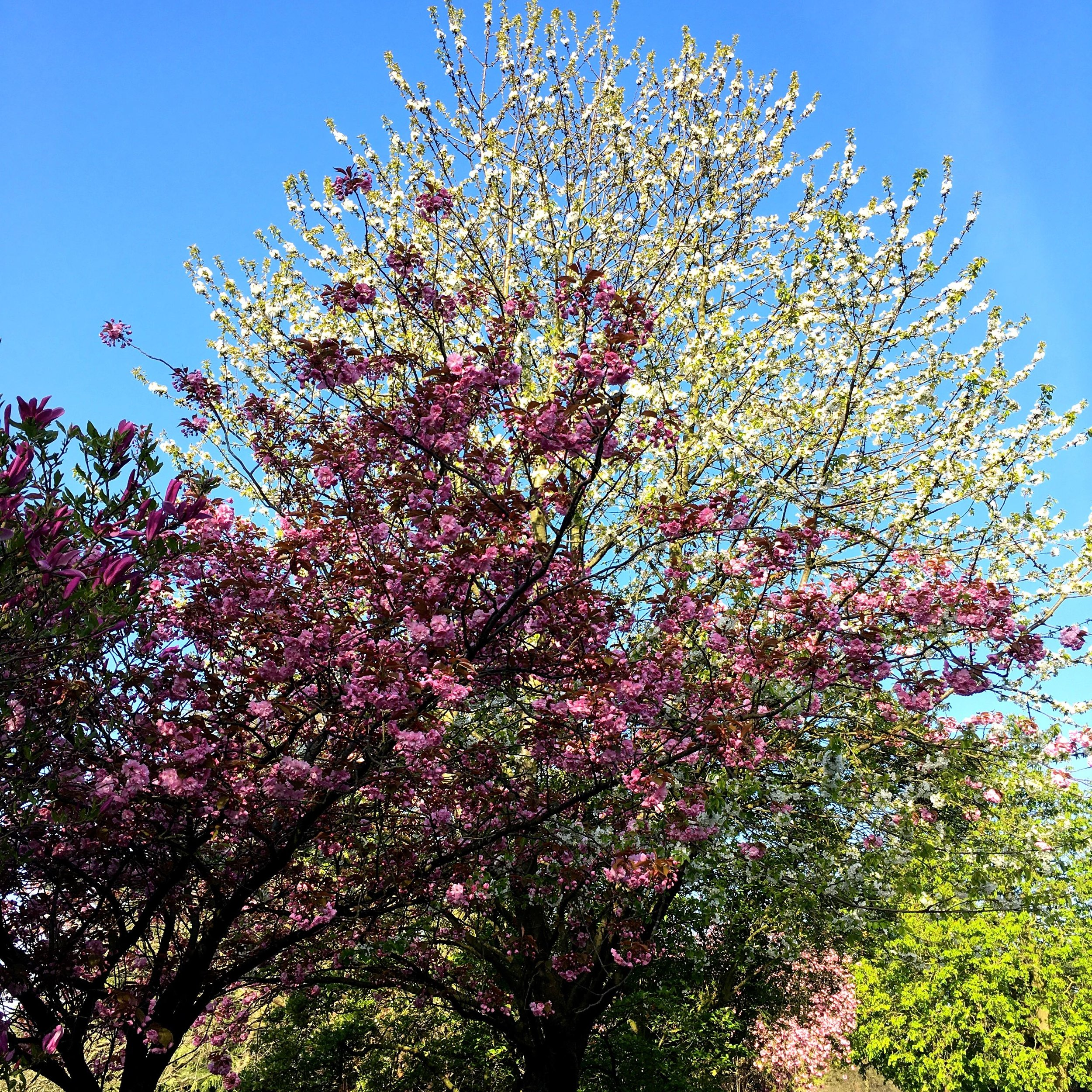 April in greenwich park was full of blossom - and often blossomtastic