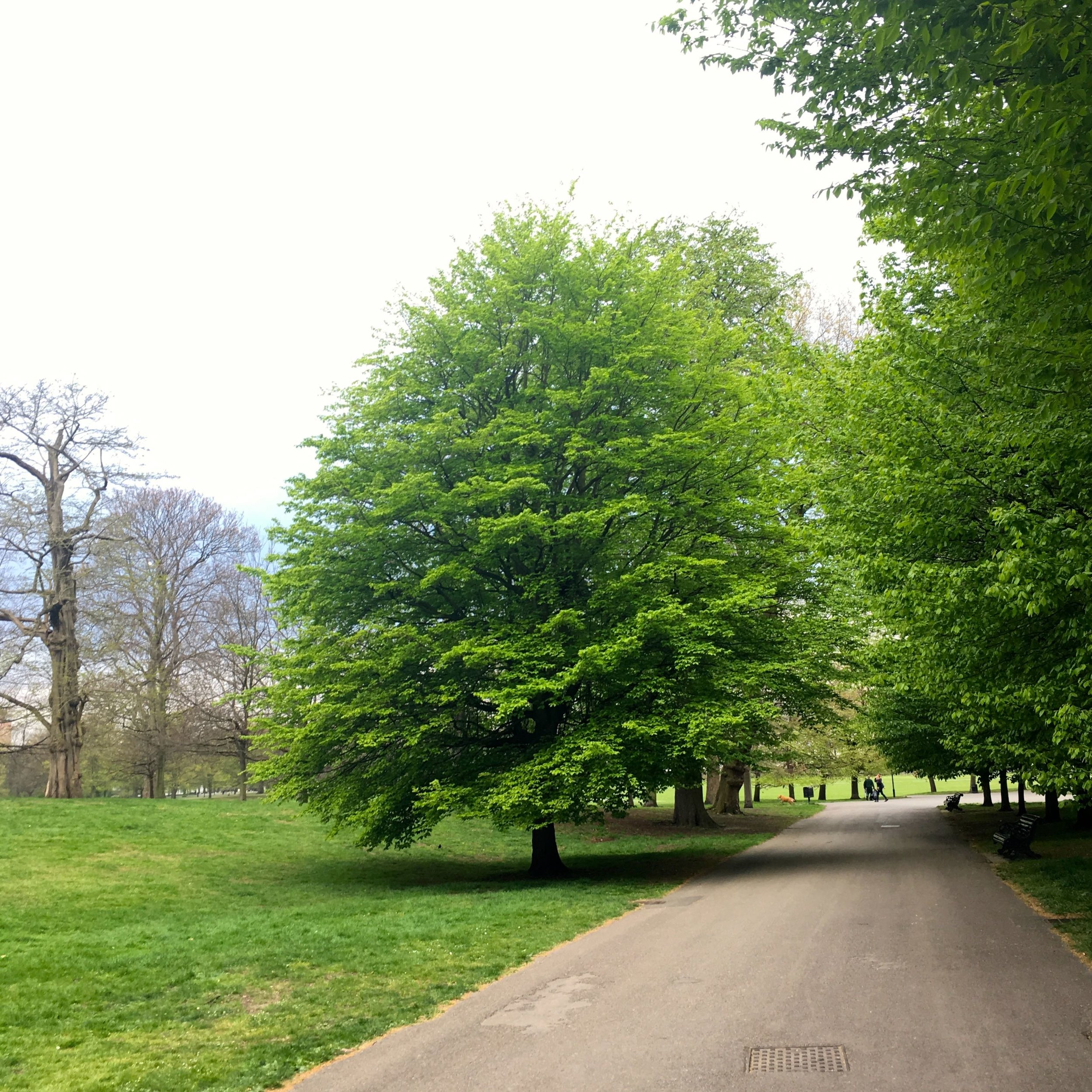 My tree is now in full leaf and looking resplendent in greenwich park this april