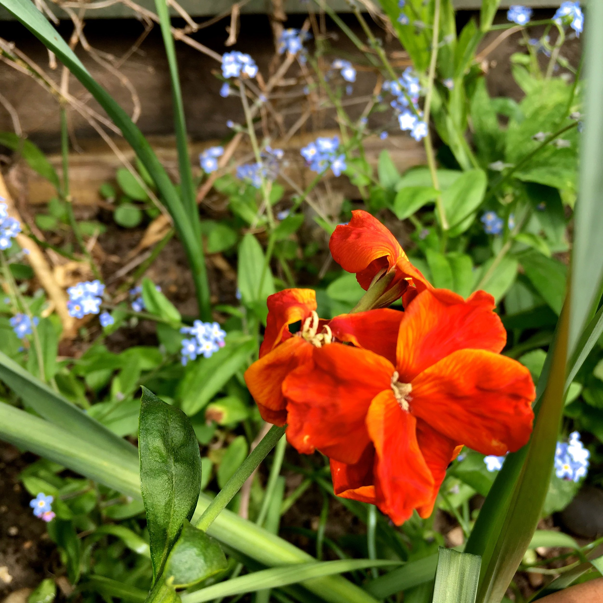 Zingy and rich coloured wallflowers