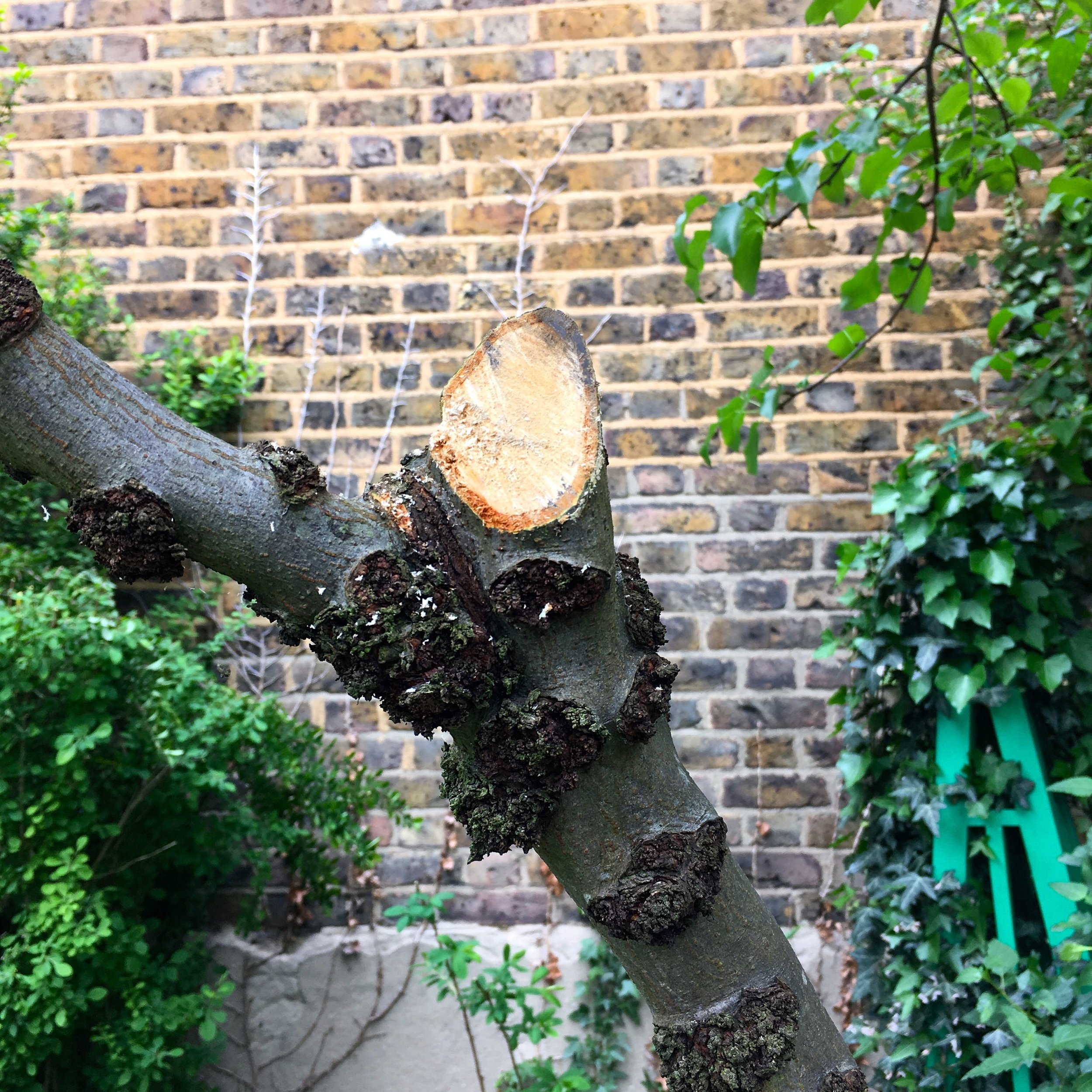 Some impromptu pruning for the pear tree, which despite this photo is looking a much better shape for it