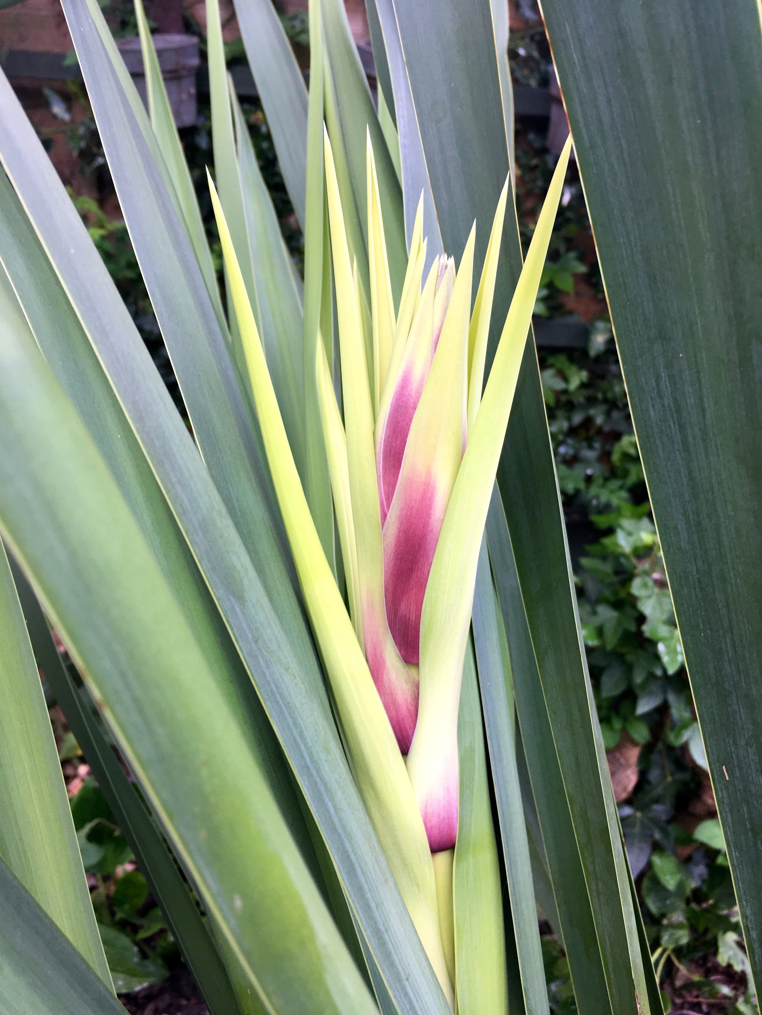 A flower on our yucca, and I think there's at least another one on the way