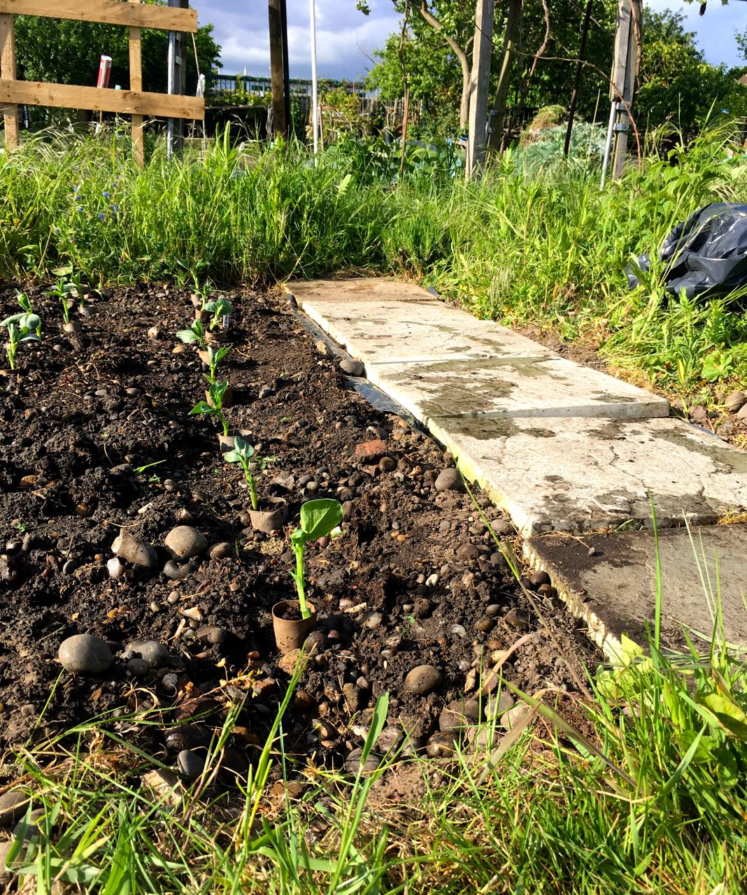BROAD BEANS PLANTED OUT ALONGSIDE A NEWLY WEEDED PATH