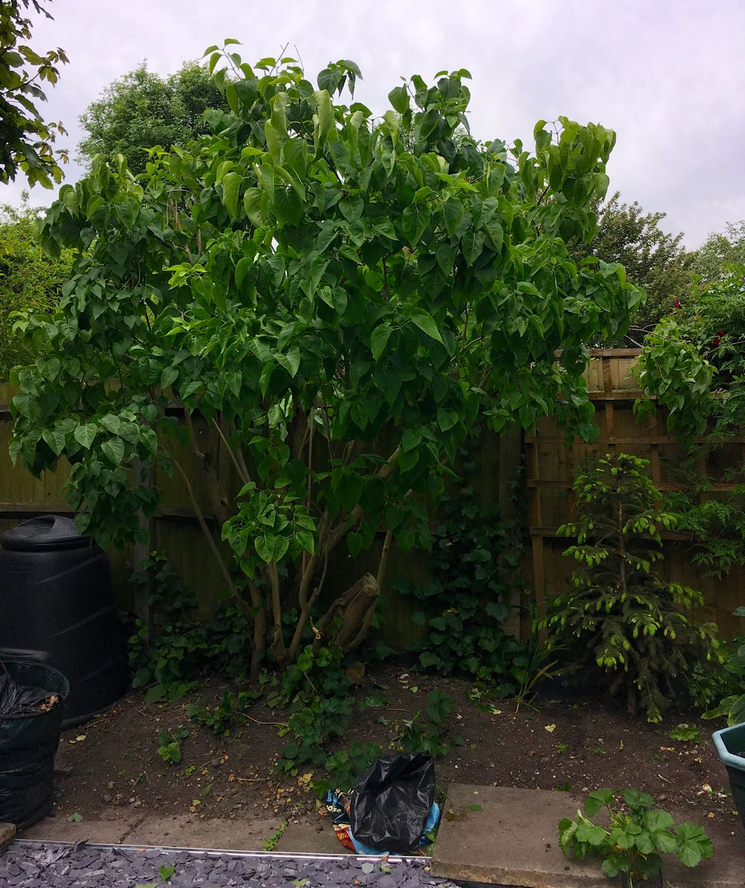 The out of reach lilac branches were also trimmed