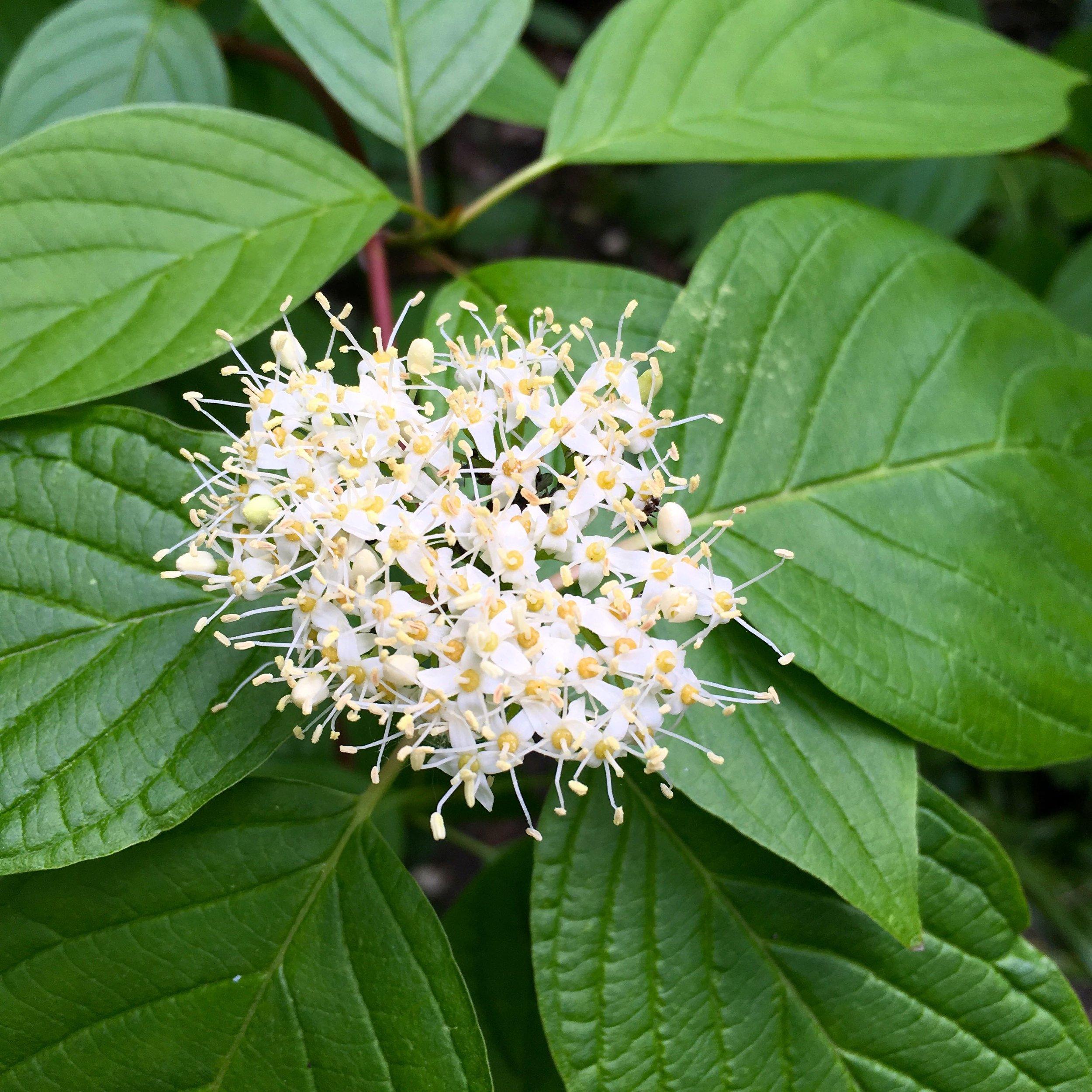 Dogwoods in flower