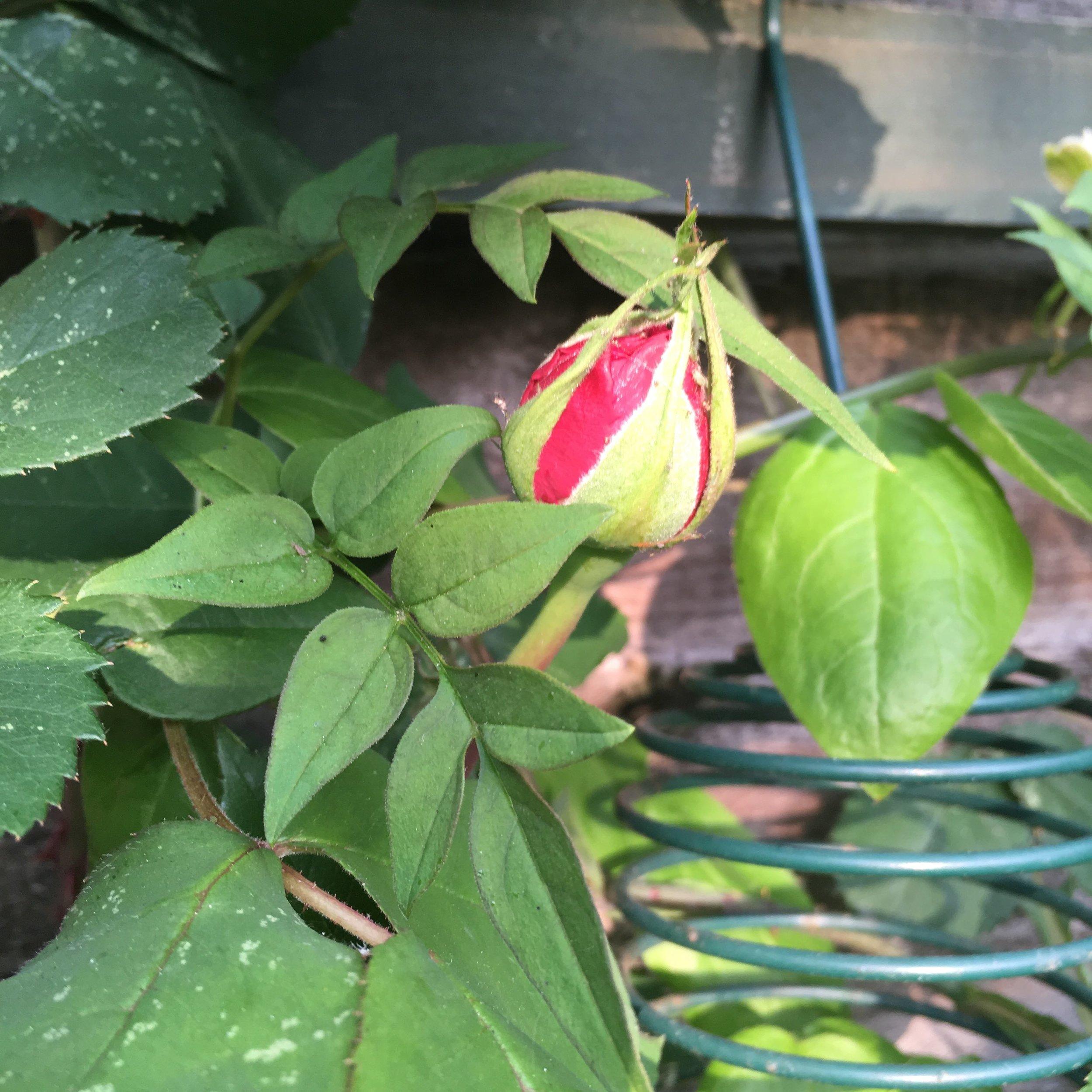 Buds on my Gertrude Jekyll rose