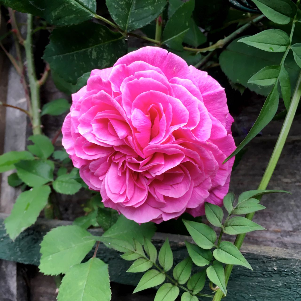 And Gertrude Jekyll is flowering