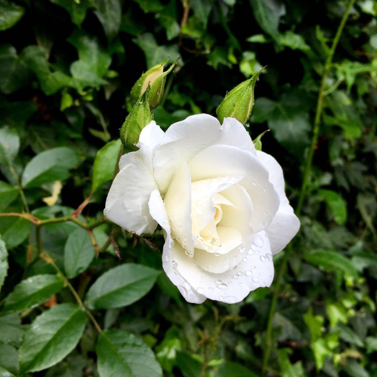 White roses too