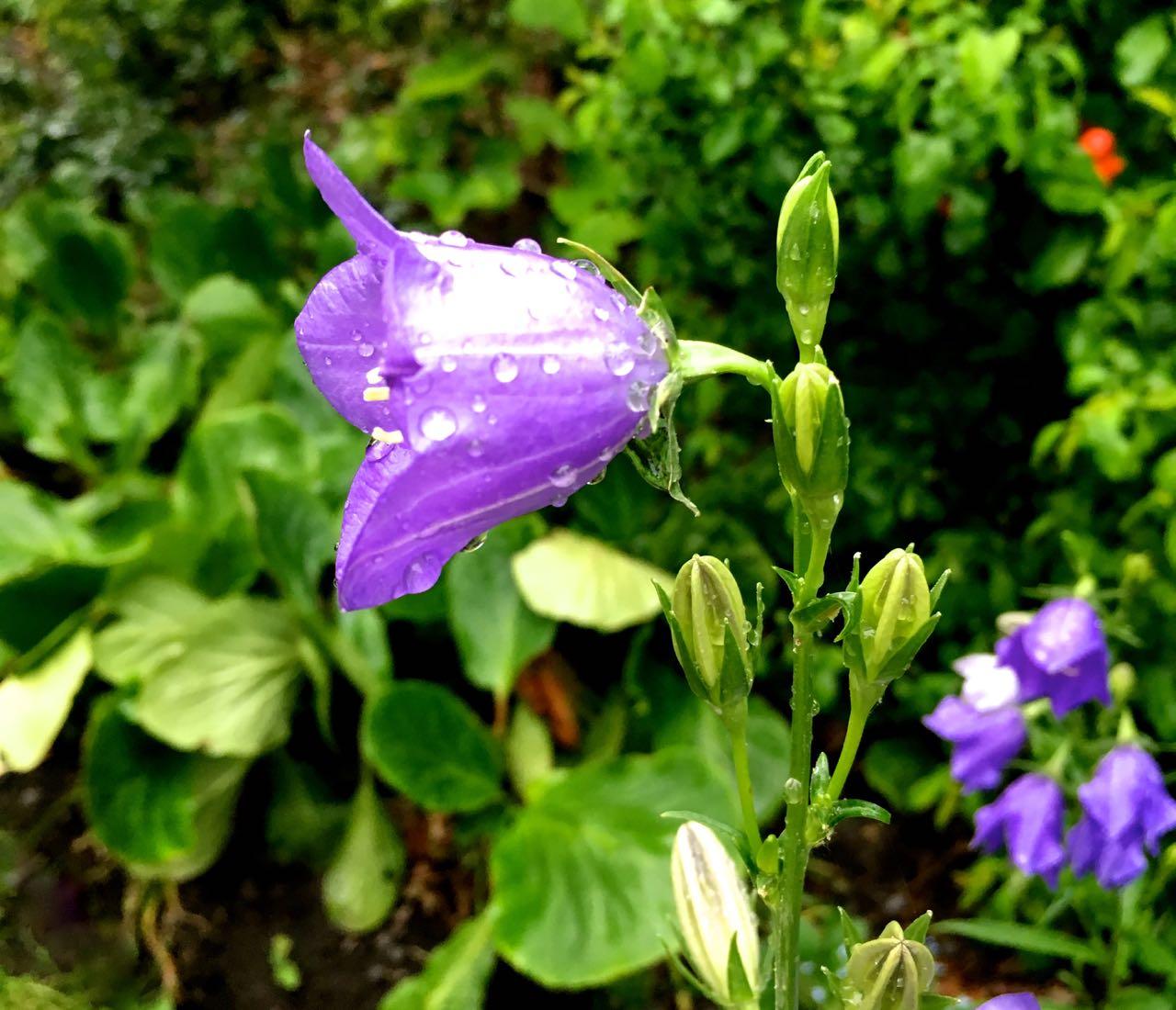 Canterbury bells in the rain