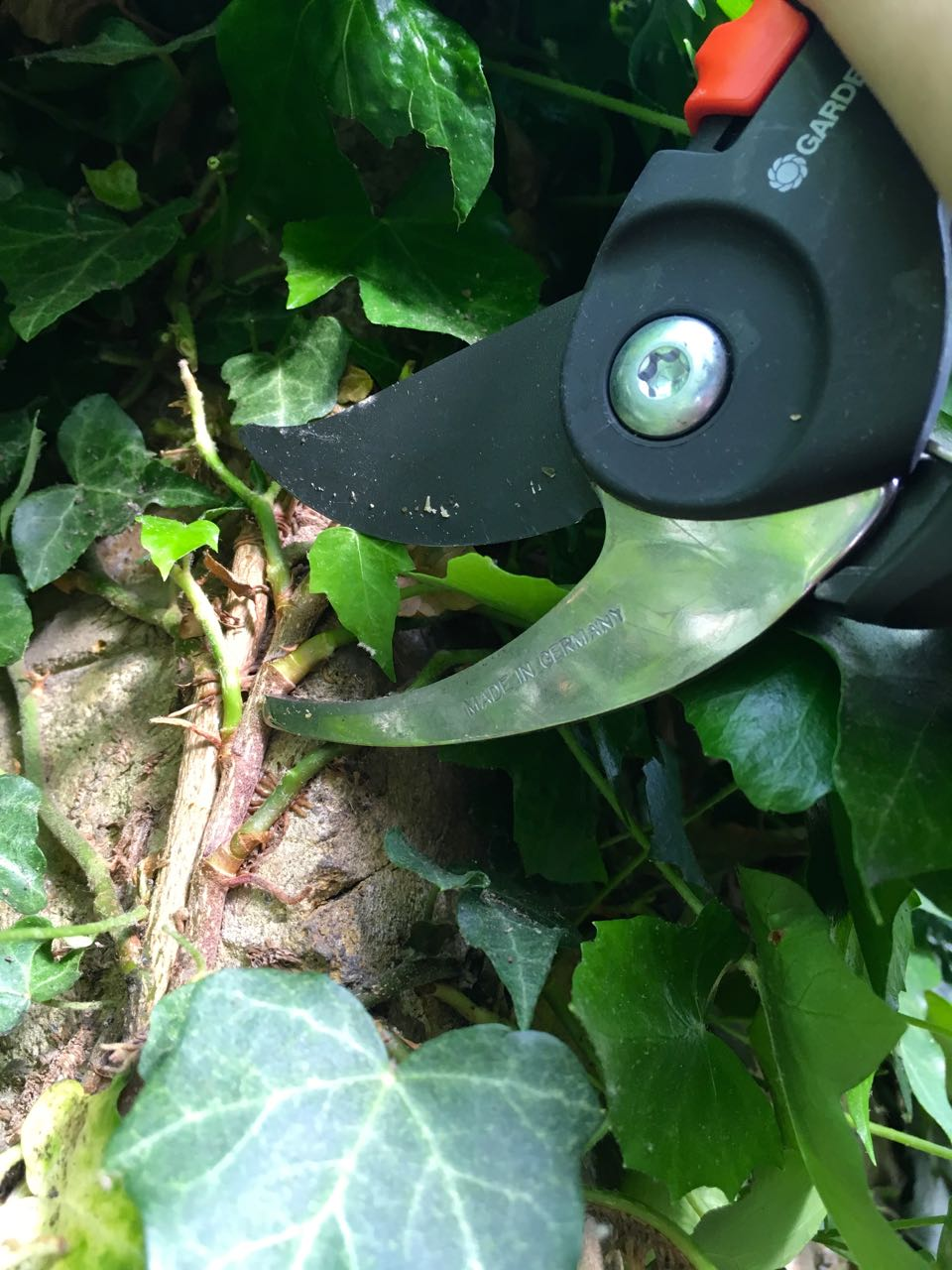 using the secateurs to accurately cut the ivy