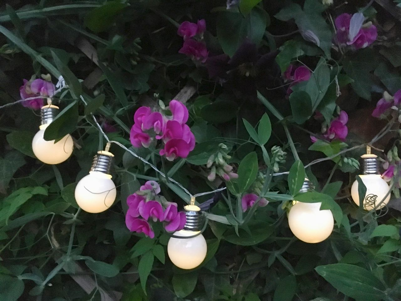 sweet peas and a string of soft glow lights