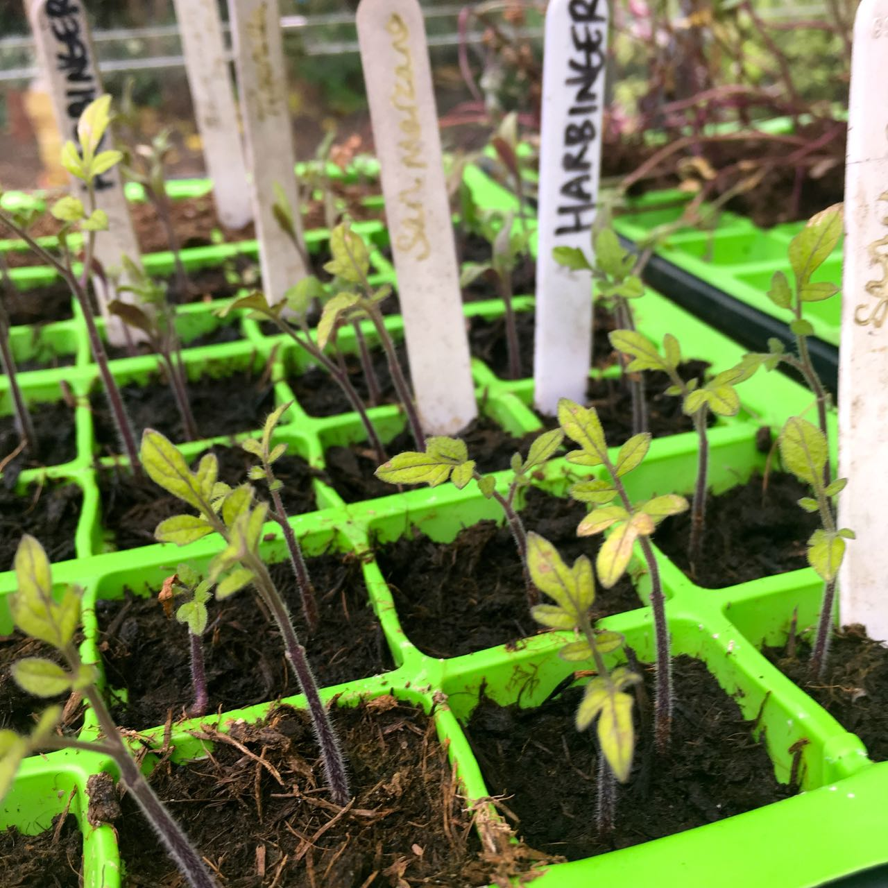 the tomato seedlings appear to be protesting