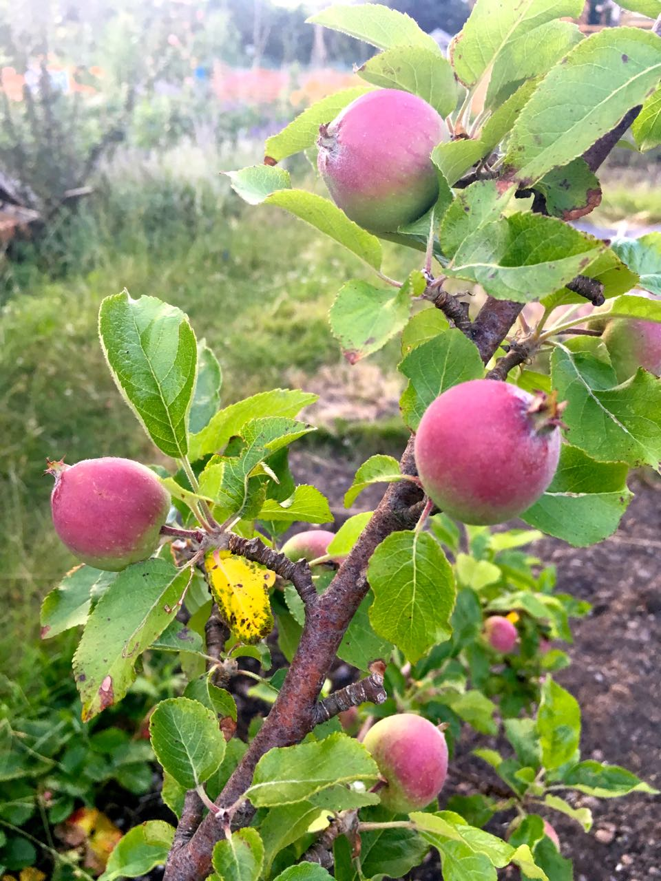 Apples - many more than last year
