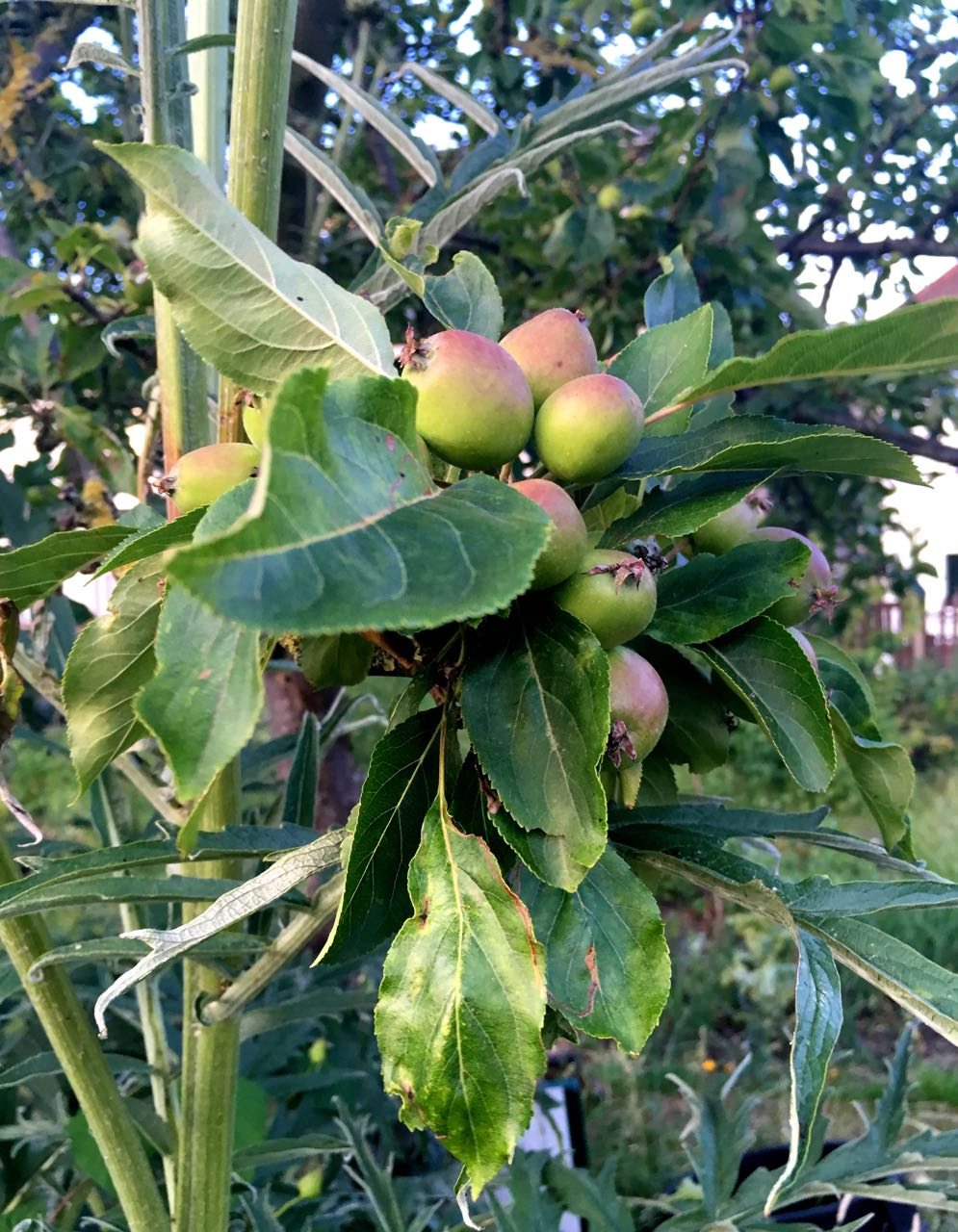 crab apples with artichokes towering above these
