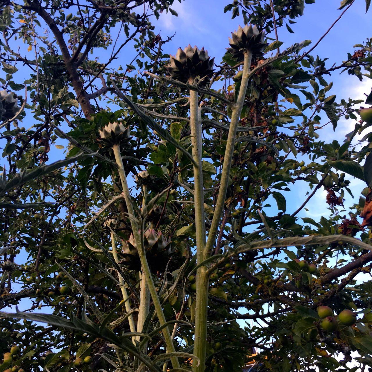artichokes in the sky!