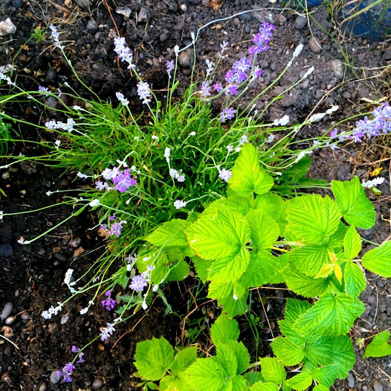 lavender and raspberries