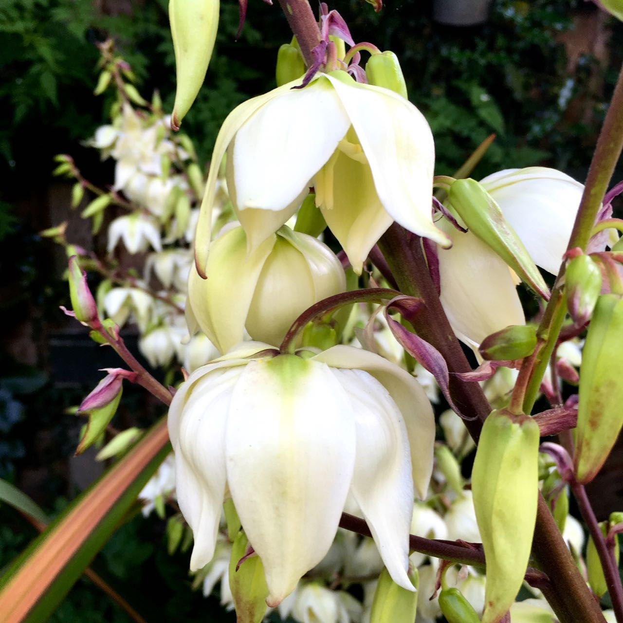 AND SUDDENLY THE YUCCA WAS IN FULL FLOWER