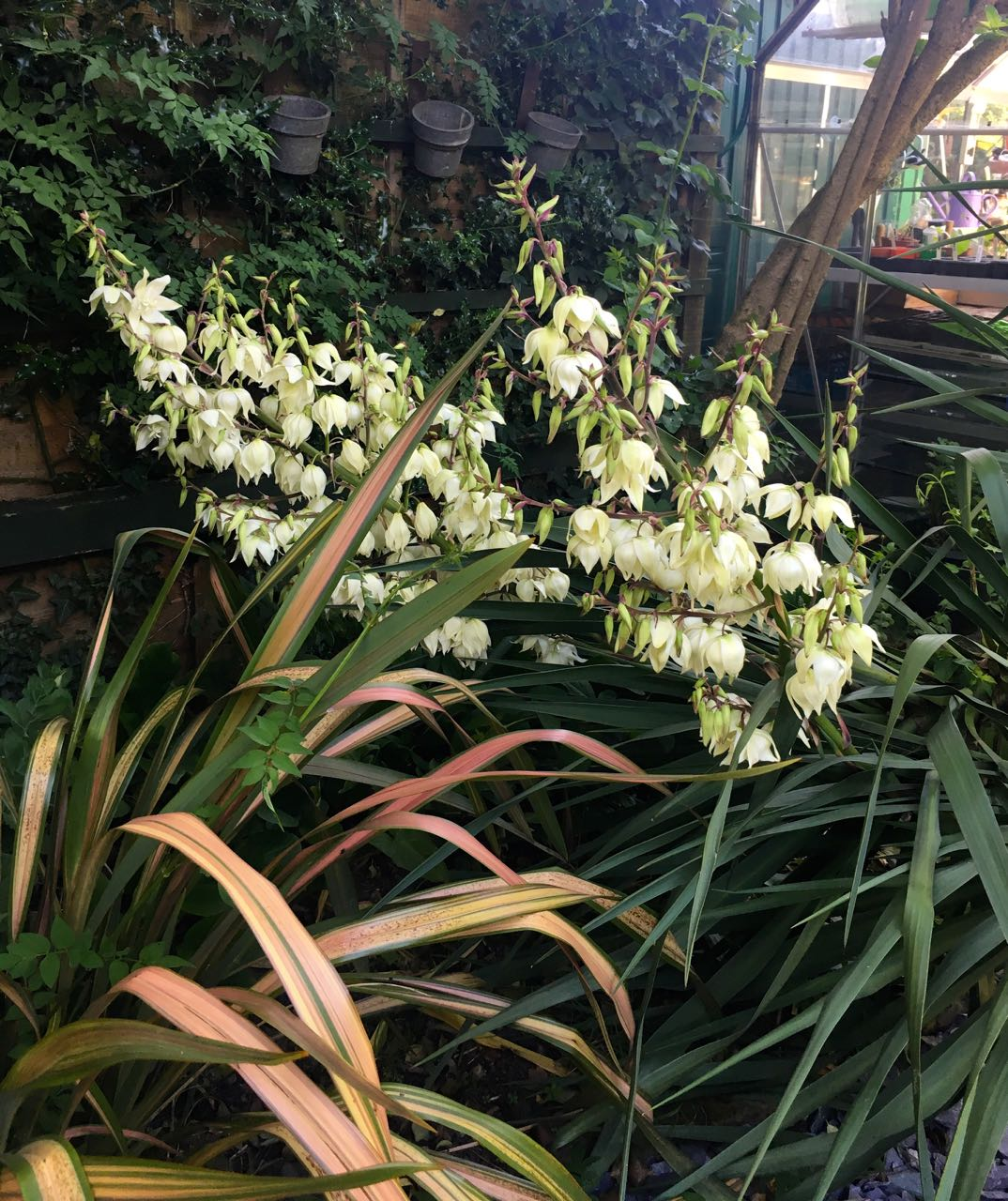 OUR YUCCA ON THE LEAN