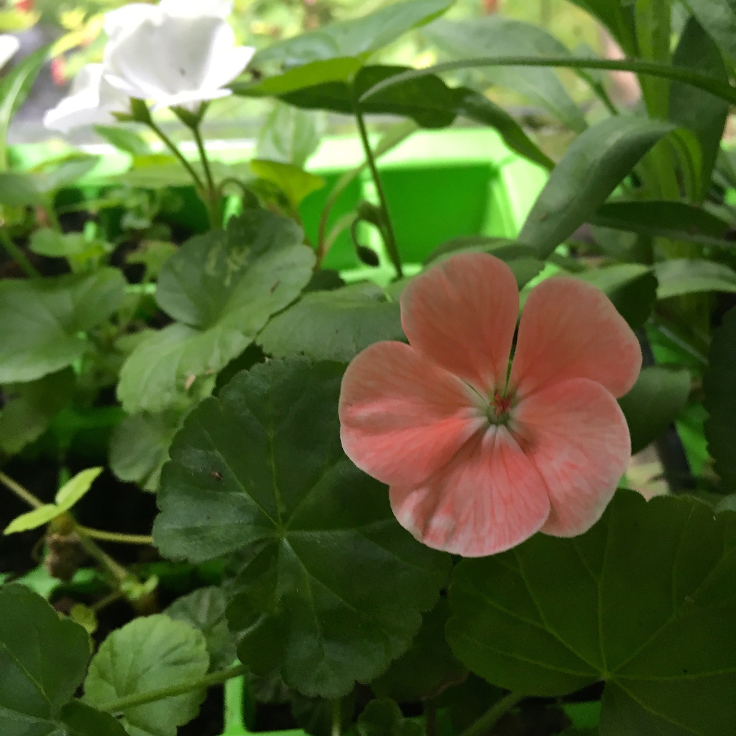 A delicate flower from the bedding plants I ordered much earlier in the year