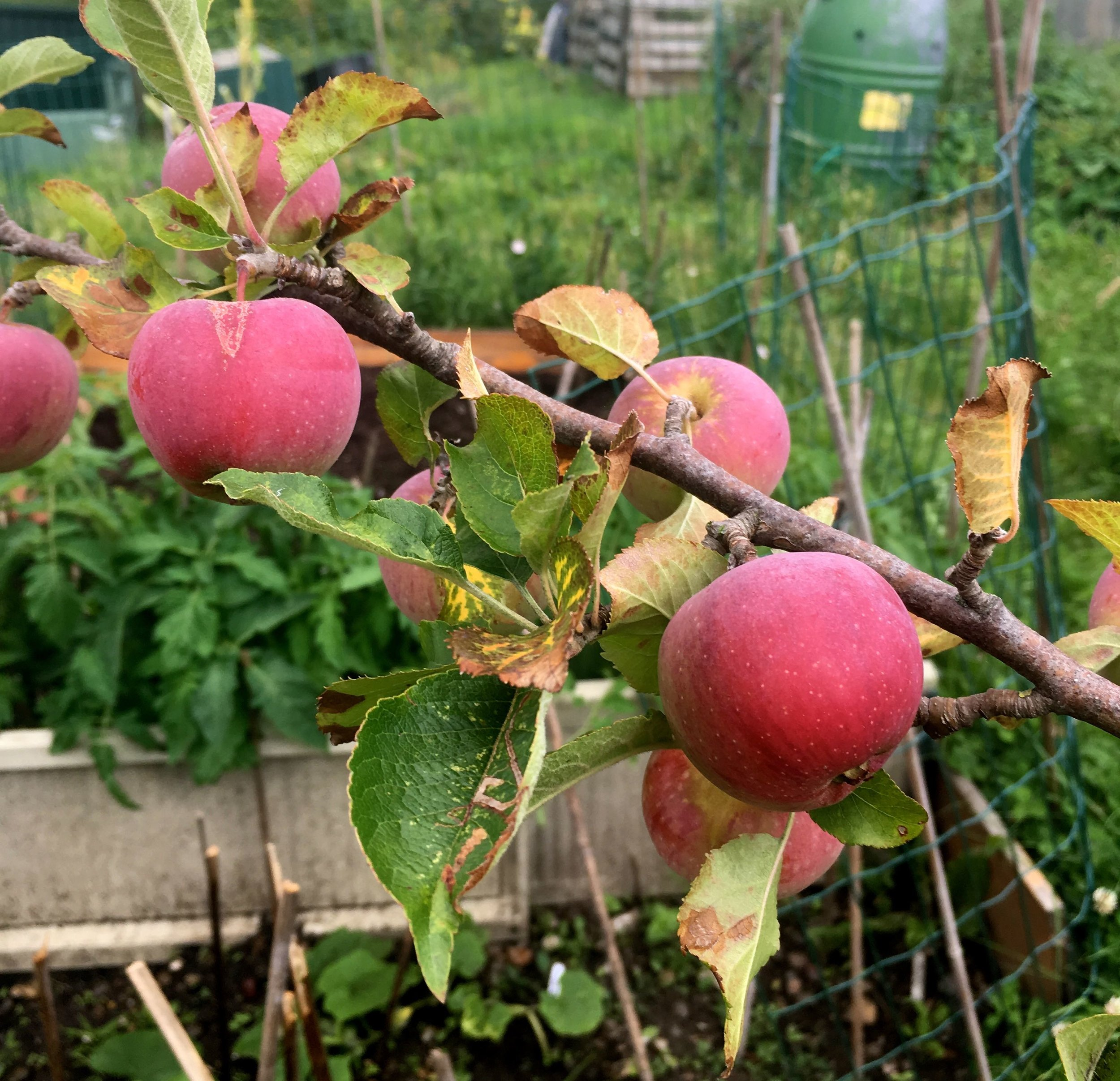 A better crop of apples this year on the plot