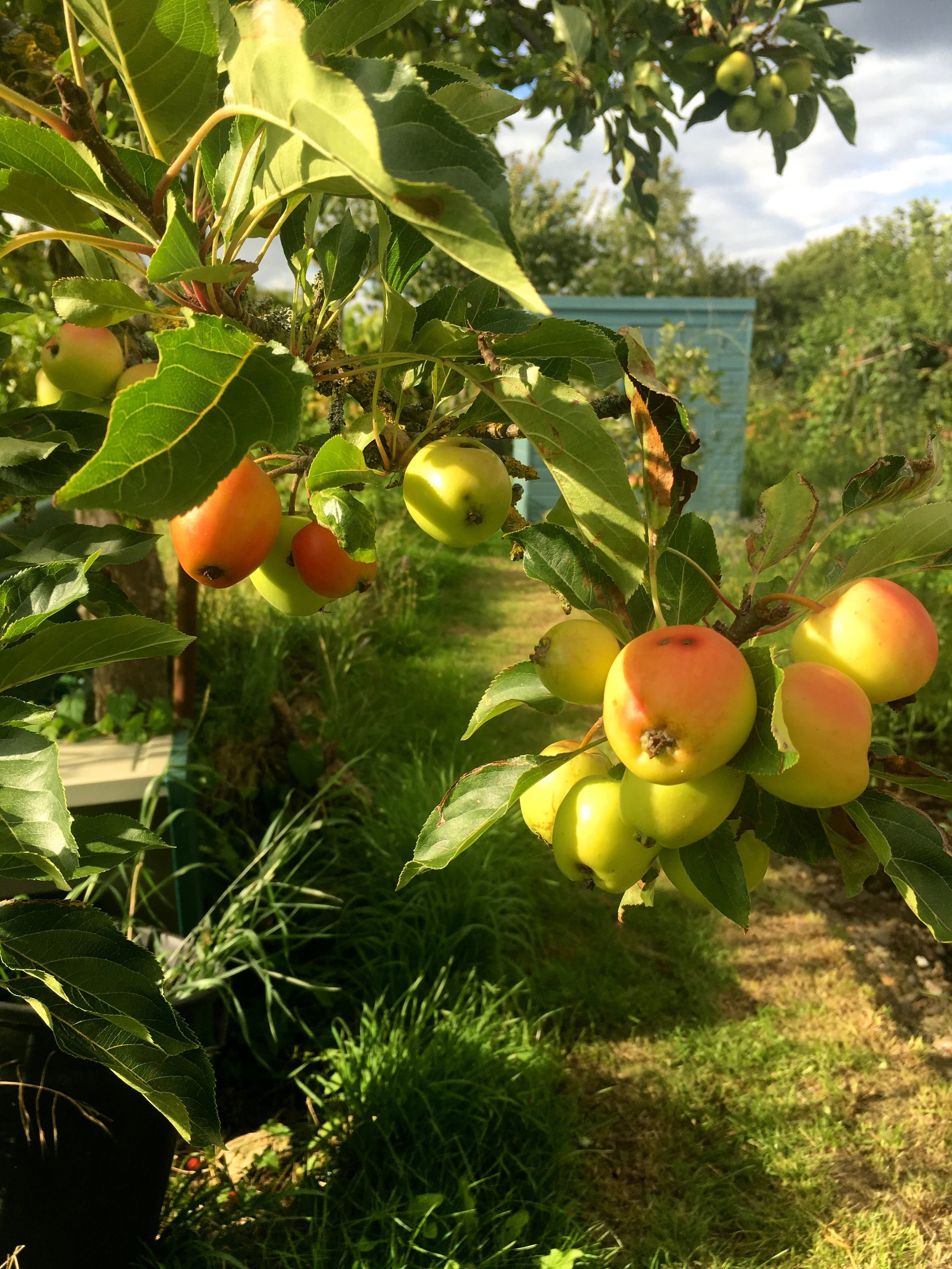 the sky was darkening as I took photos of the crab apples