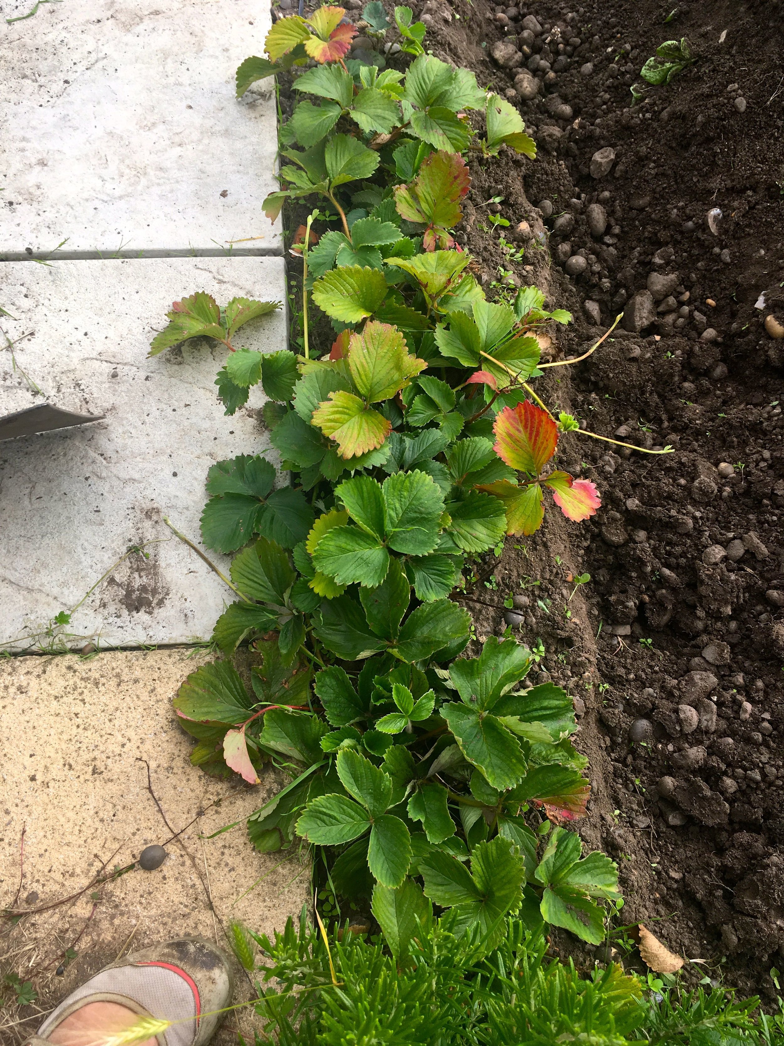 the strawberries I moved are doing well