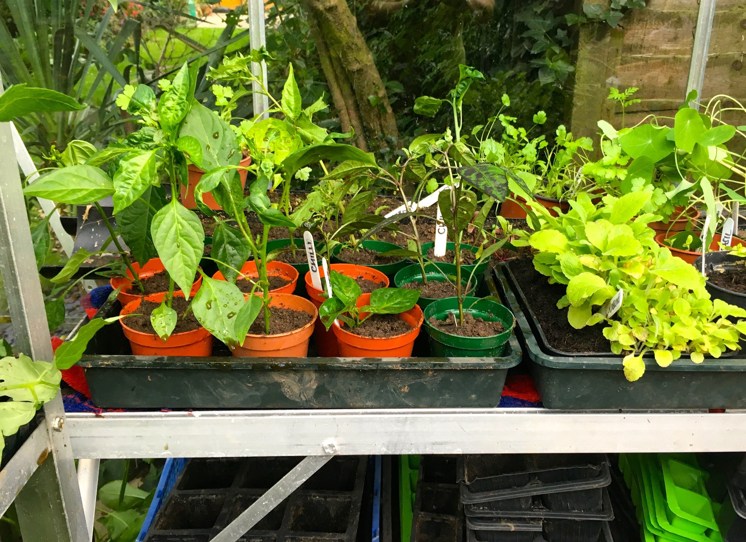 Chillies on the staging sorted out